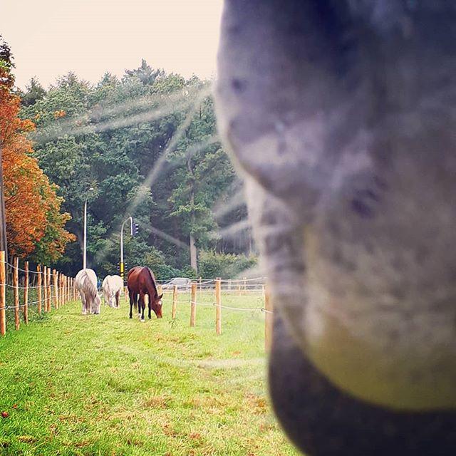 Even genieten van de kudde. En die dikke neus kwam even checken of ik iets lekkers op zak had.  Toevallig wel. 😍😍😍 . #paddockparadise  #naturalhorsemanship  #staytruetoyourhorse  #paardenliefde