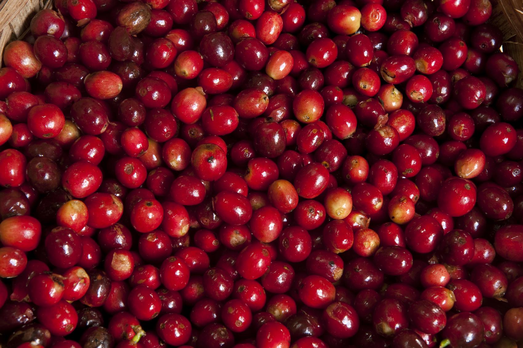 Ripened coffee cherries