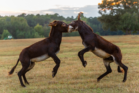 Horseplay at Sunset - Dog and Pony Show, A Novel Experience Book Store, Zebulon, Georgia