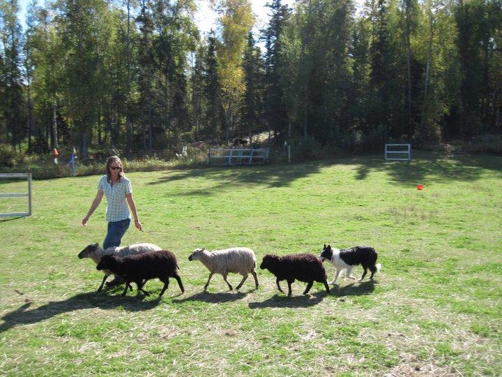 Herding with Jack in Alaska.jpg