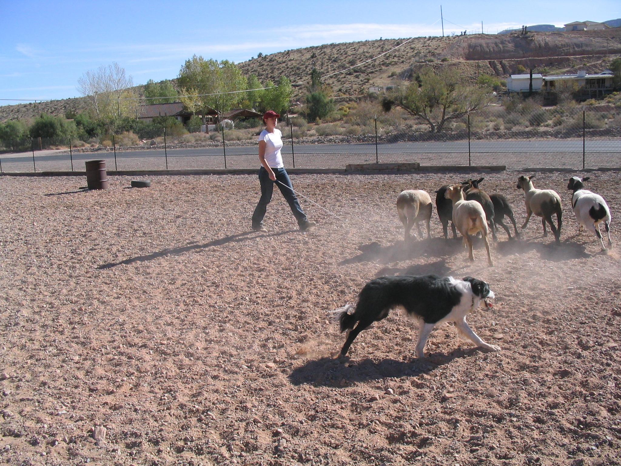 Jack herding in NV.jpg