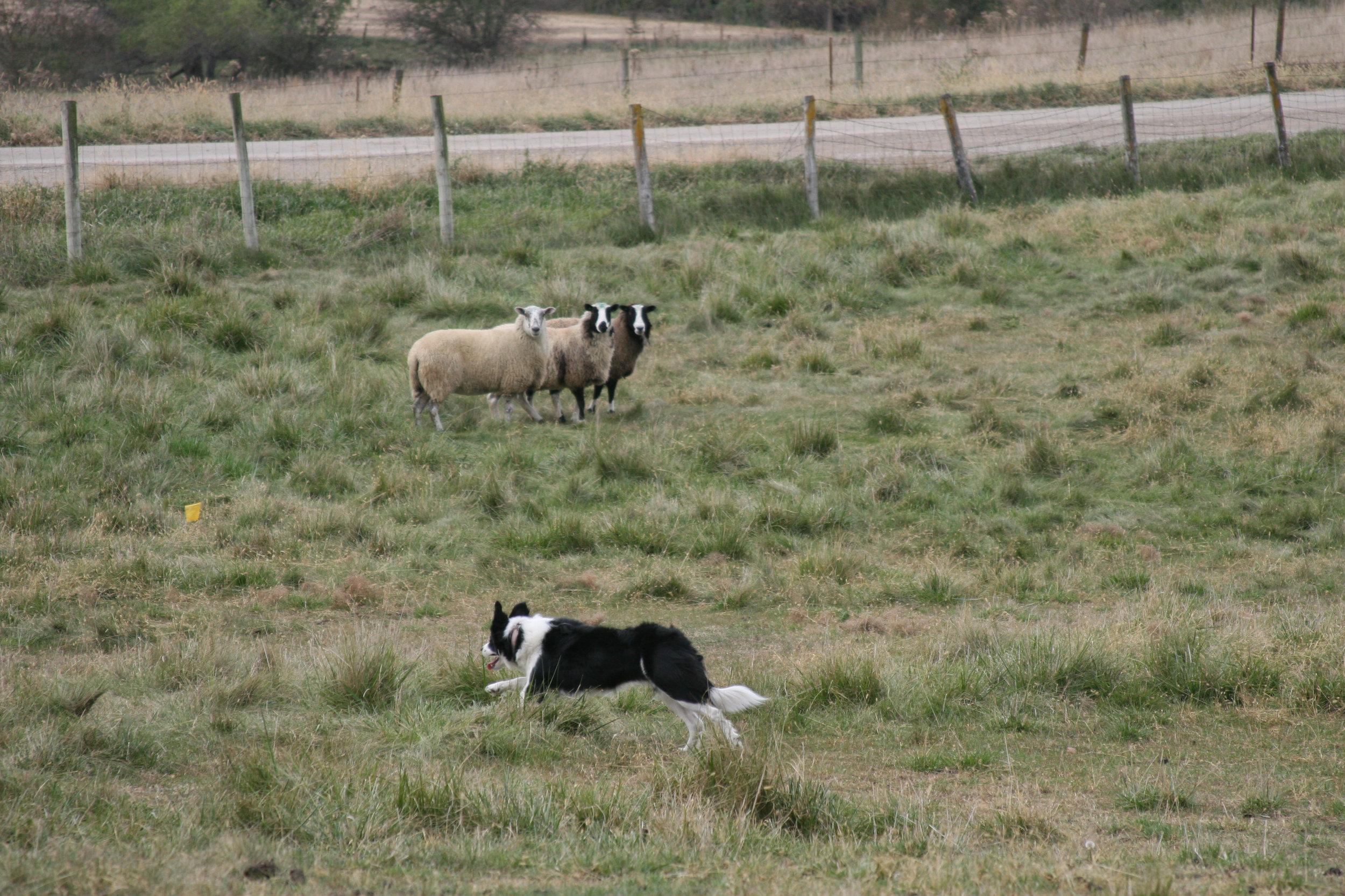 Jill herding sheep Iowa.jpg
