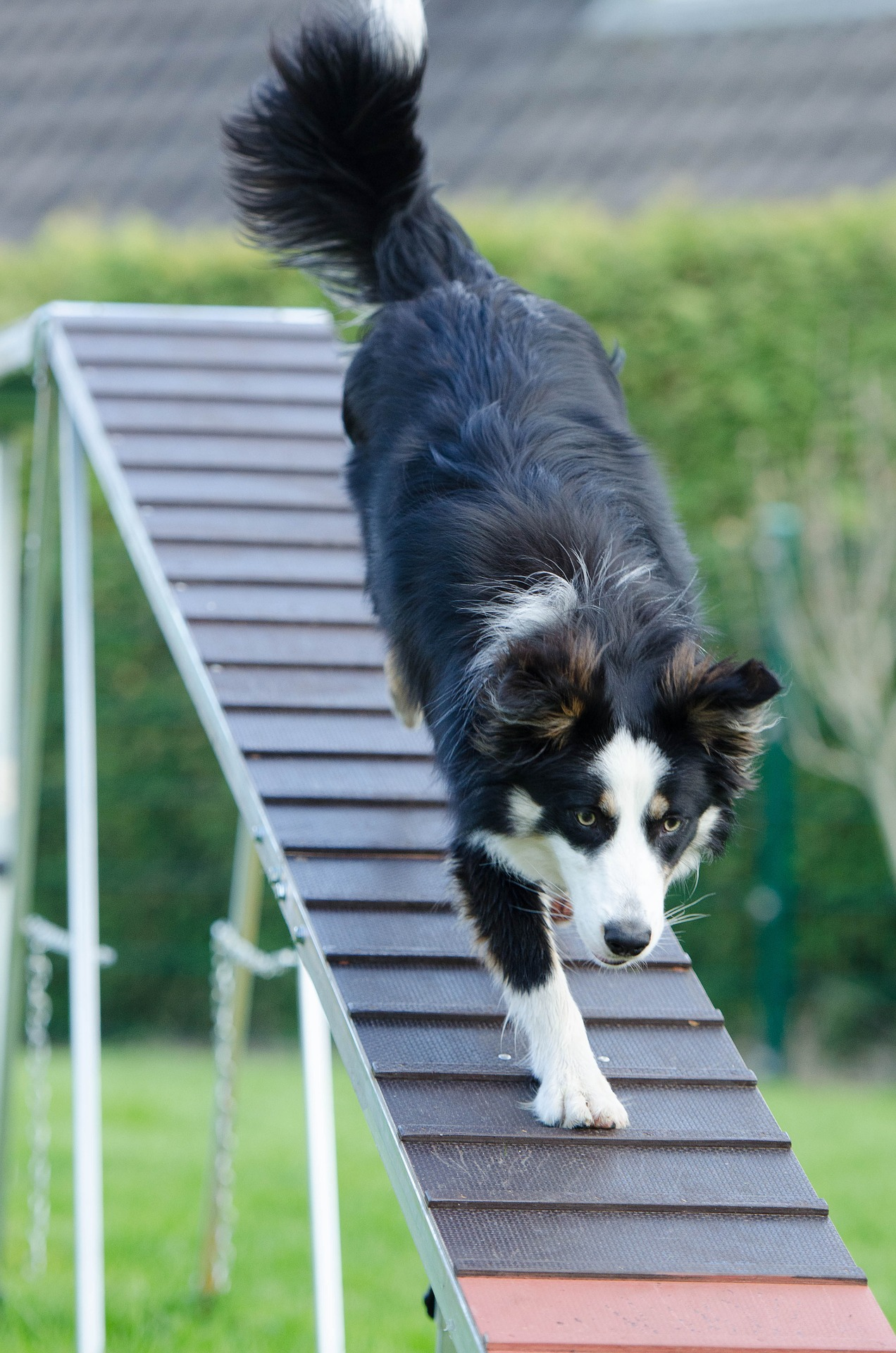 Contact obstacles like this dog walk are a fun challenge for dogs!