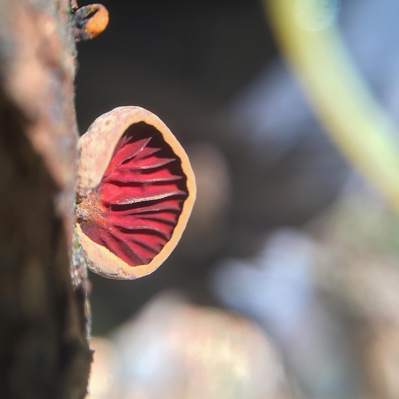 The bright underside of  Anthracophyllum lateritium