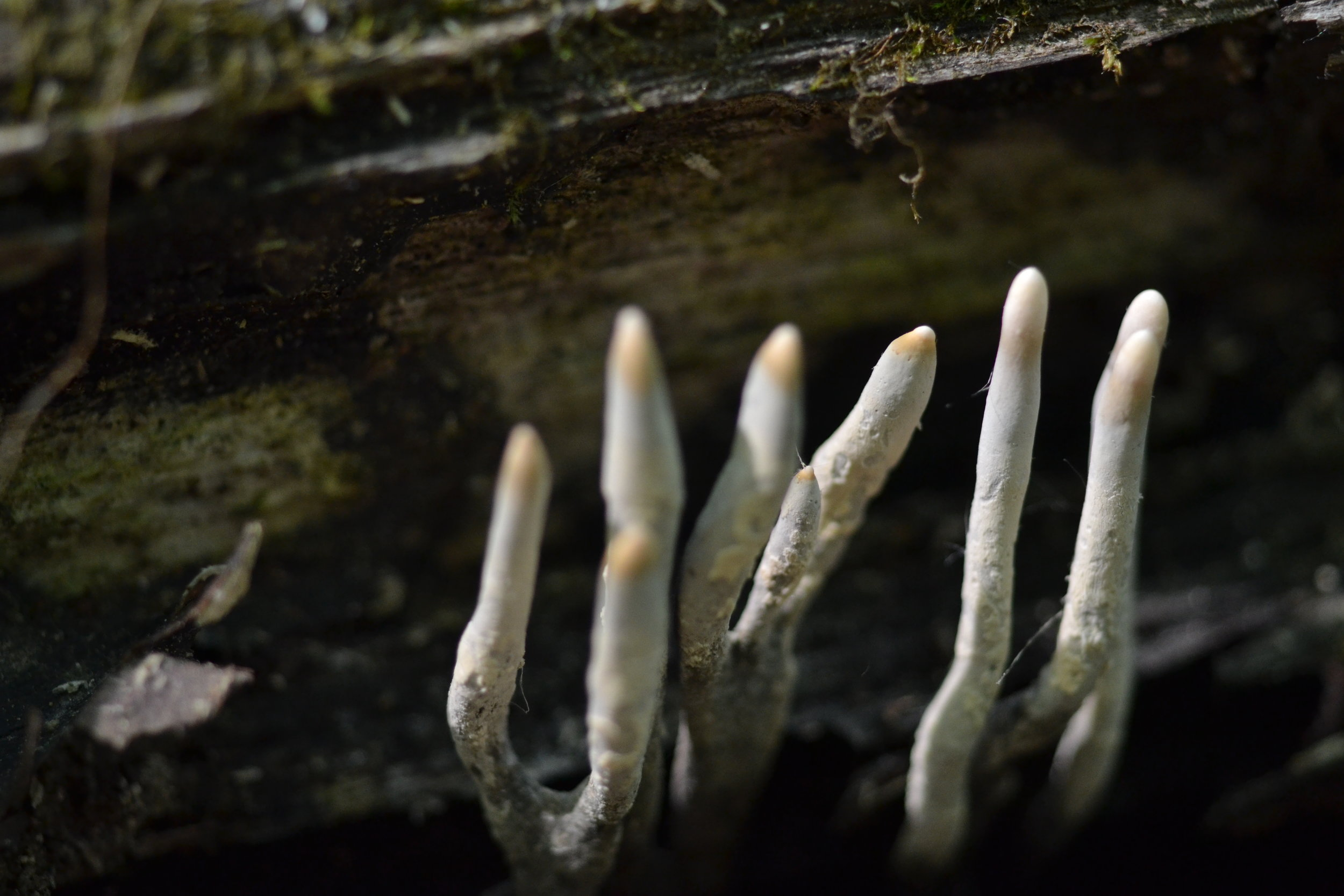 Species in the genus  Xylaria  cause white rot