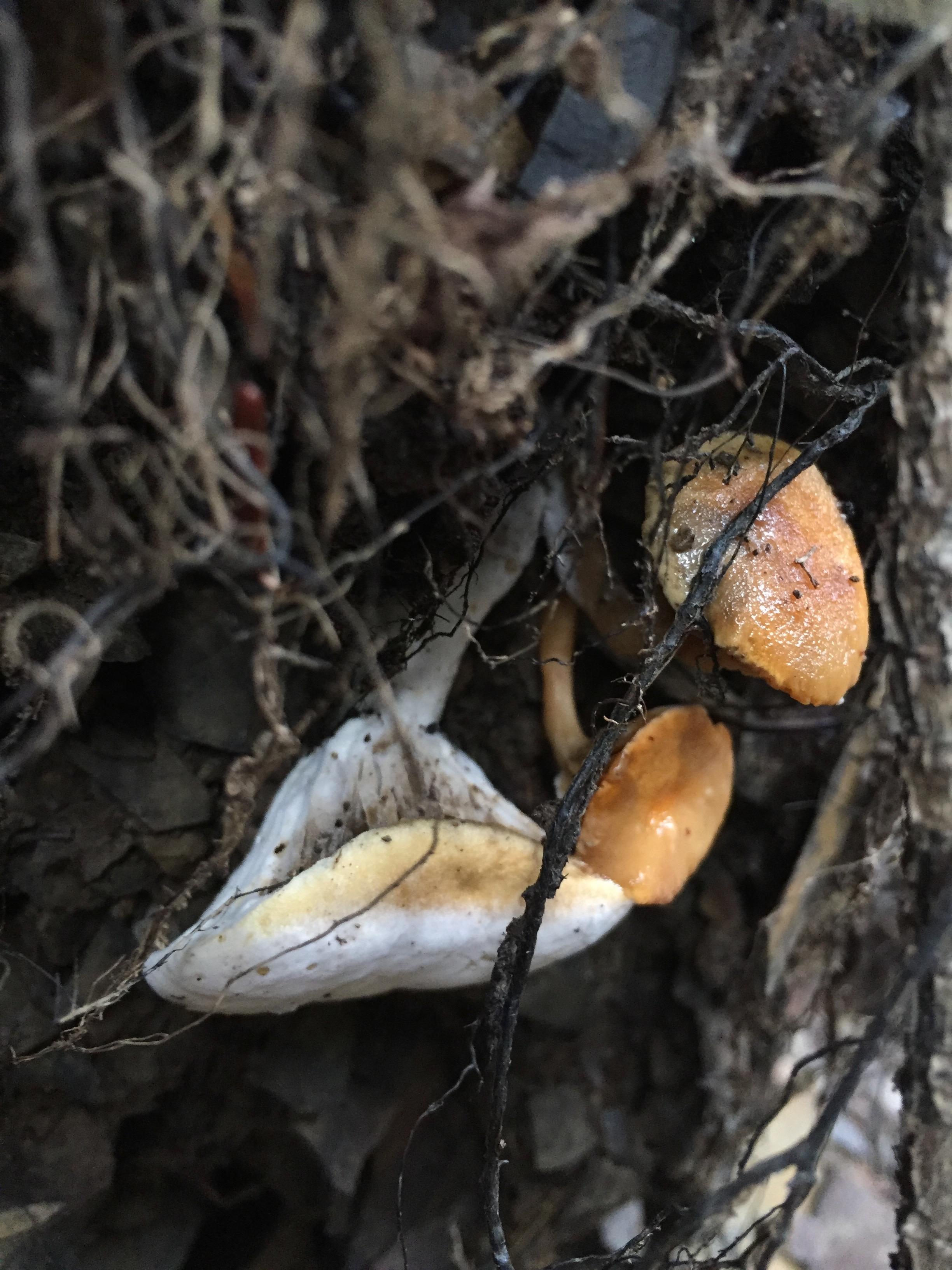 Phylloporus rhodoxanthus  - three of the five specimens found.