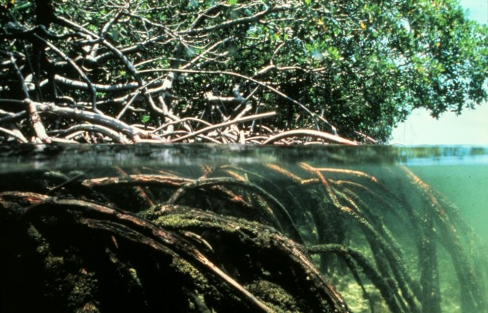 The marine and terrestrial habitats of a  Mangrove .