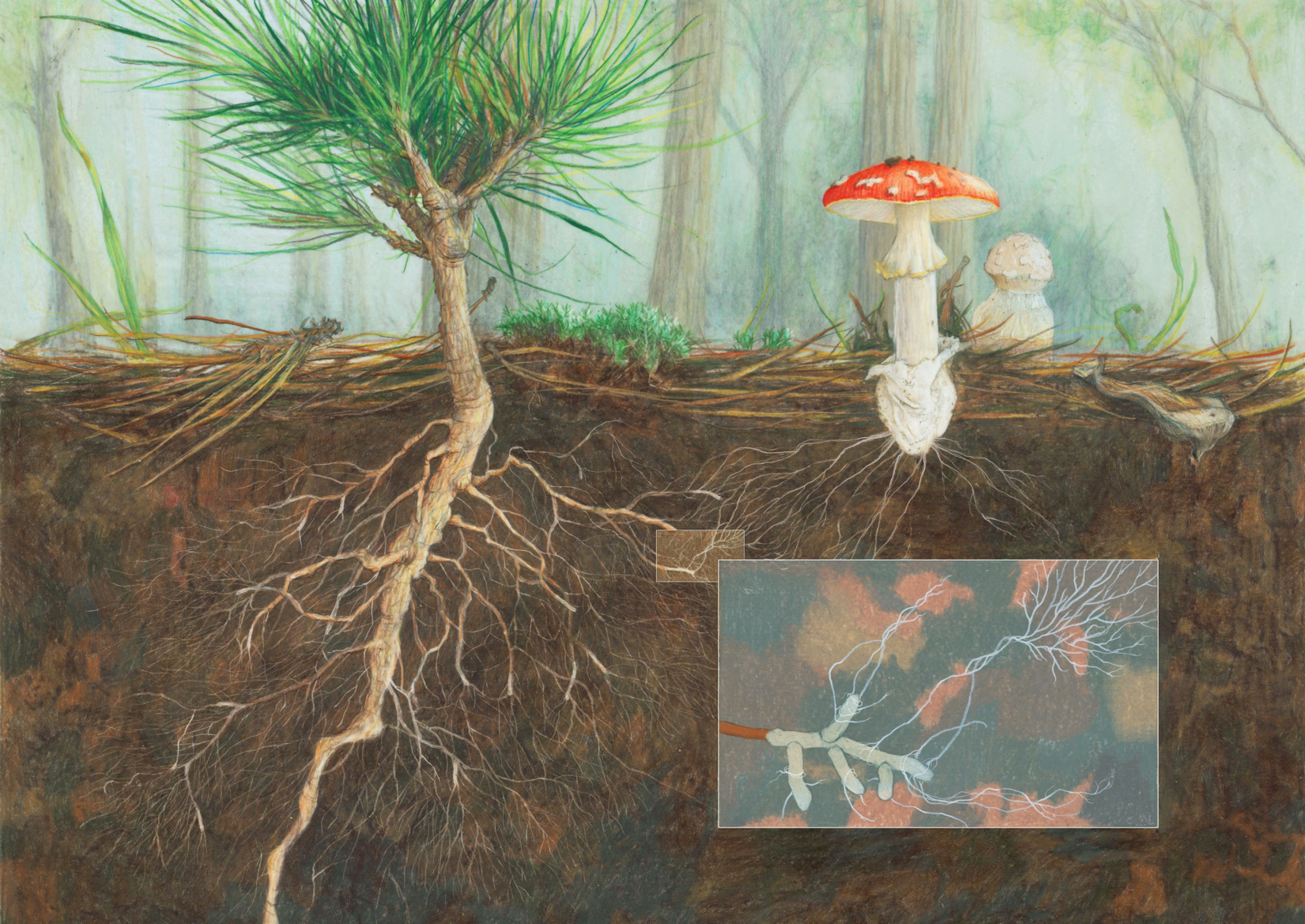 An artists depiction of  A. muscaria  and the root-fungal ECM interface