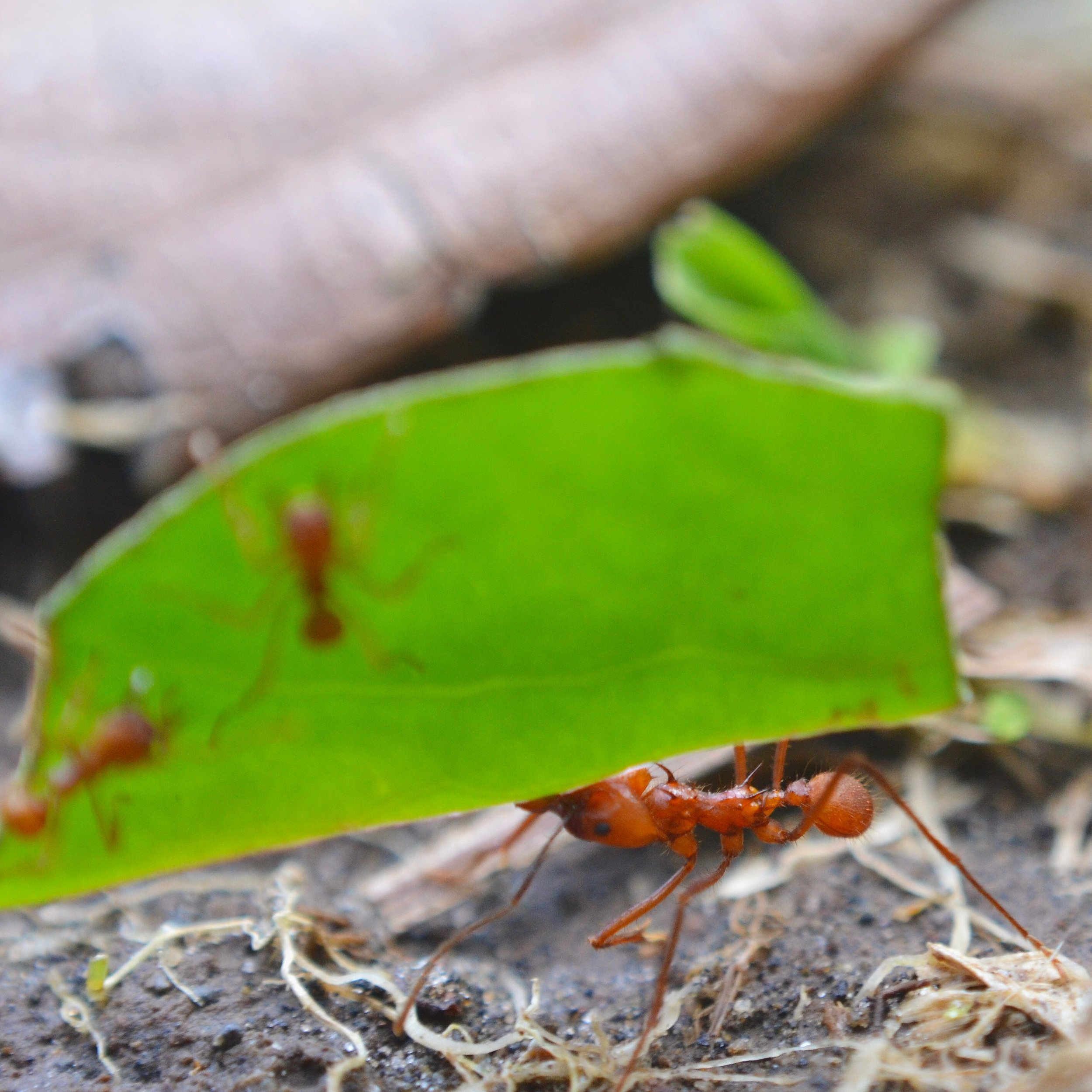 Ecological Black Holes Accessing The Function Of Leafcutter Ants