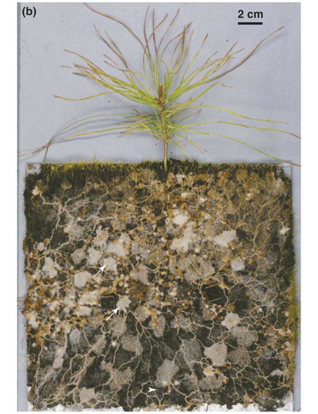 Pinus sylvestris  seedling growing with the ECM fungus  Suillus bovinus  Lambers et al. 2008