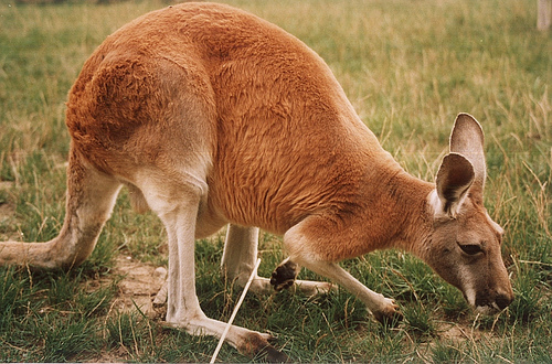 A hungry herbivore, the  red kangaroo .