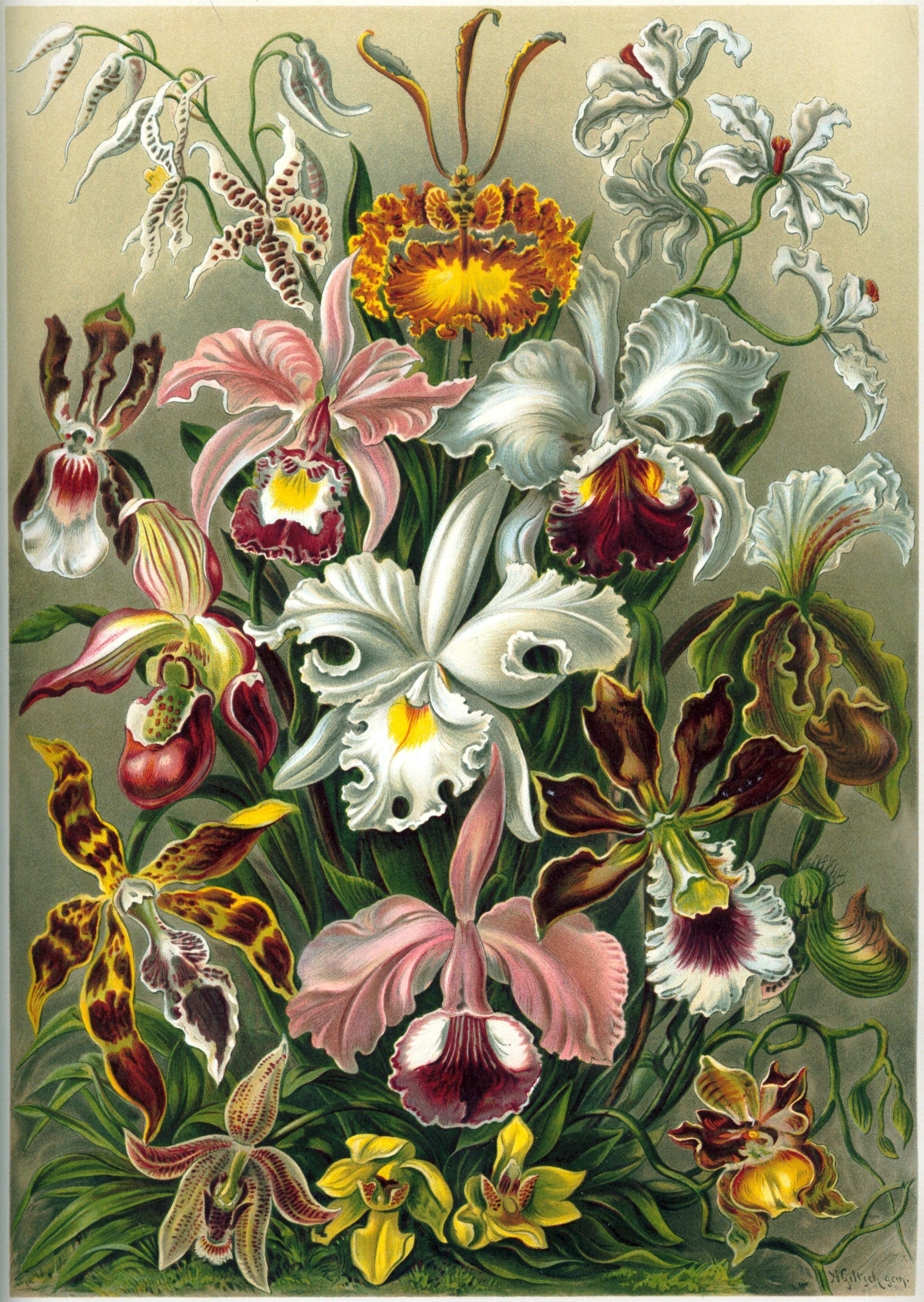 Orchid diversity illustrated by  Ernst Haeckel in  Kunstformen der Natur of 1899 .