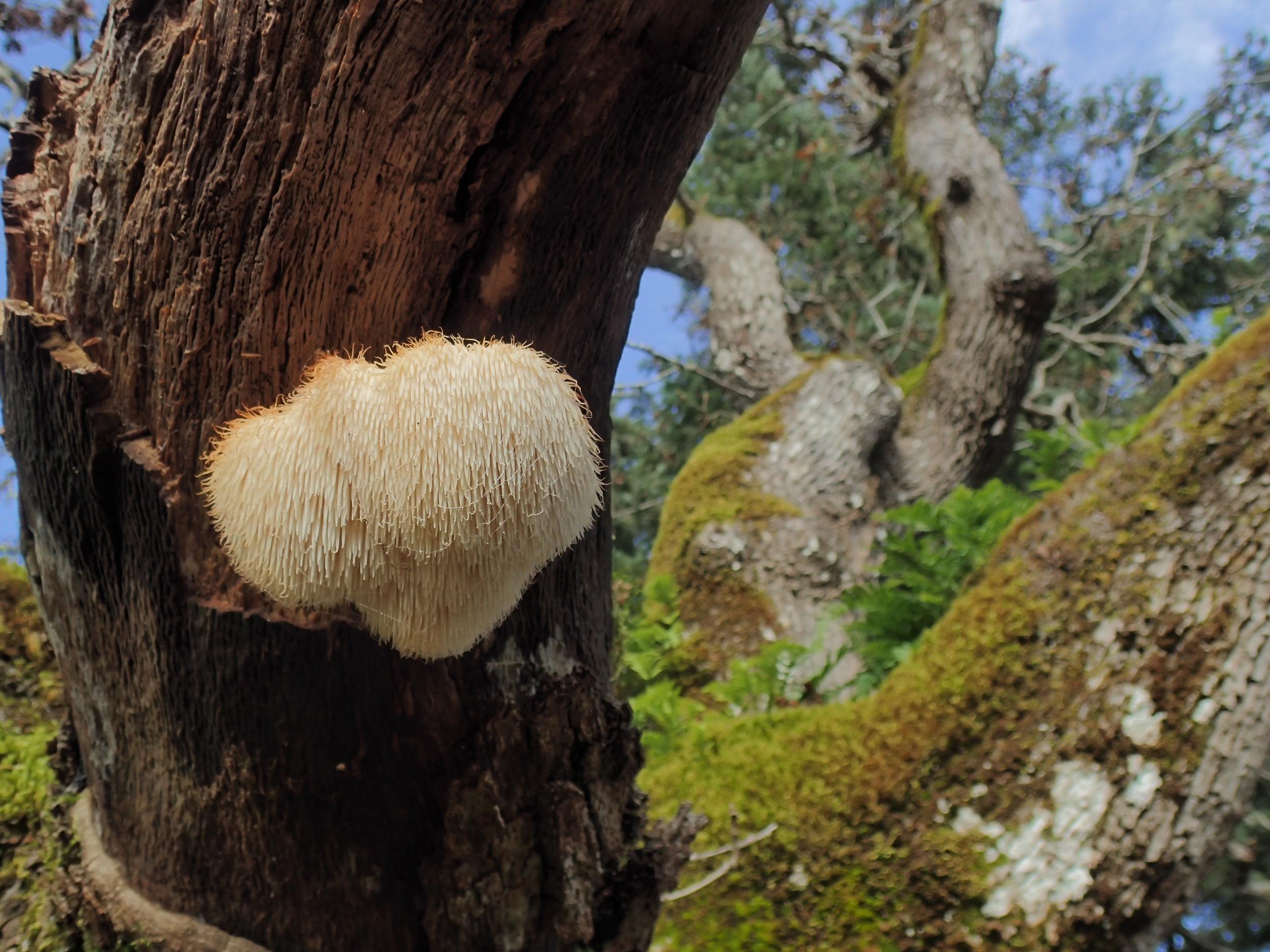 Hericium erinaceus  growing from a dead oak branch.Photo by  Oluna & Adolf Ceska .