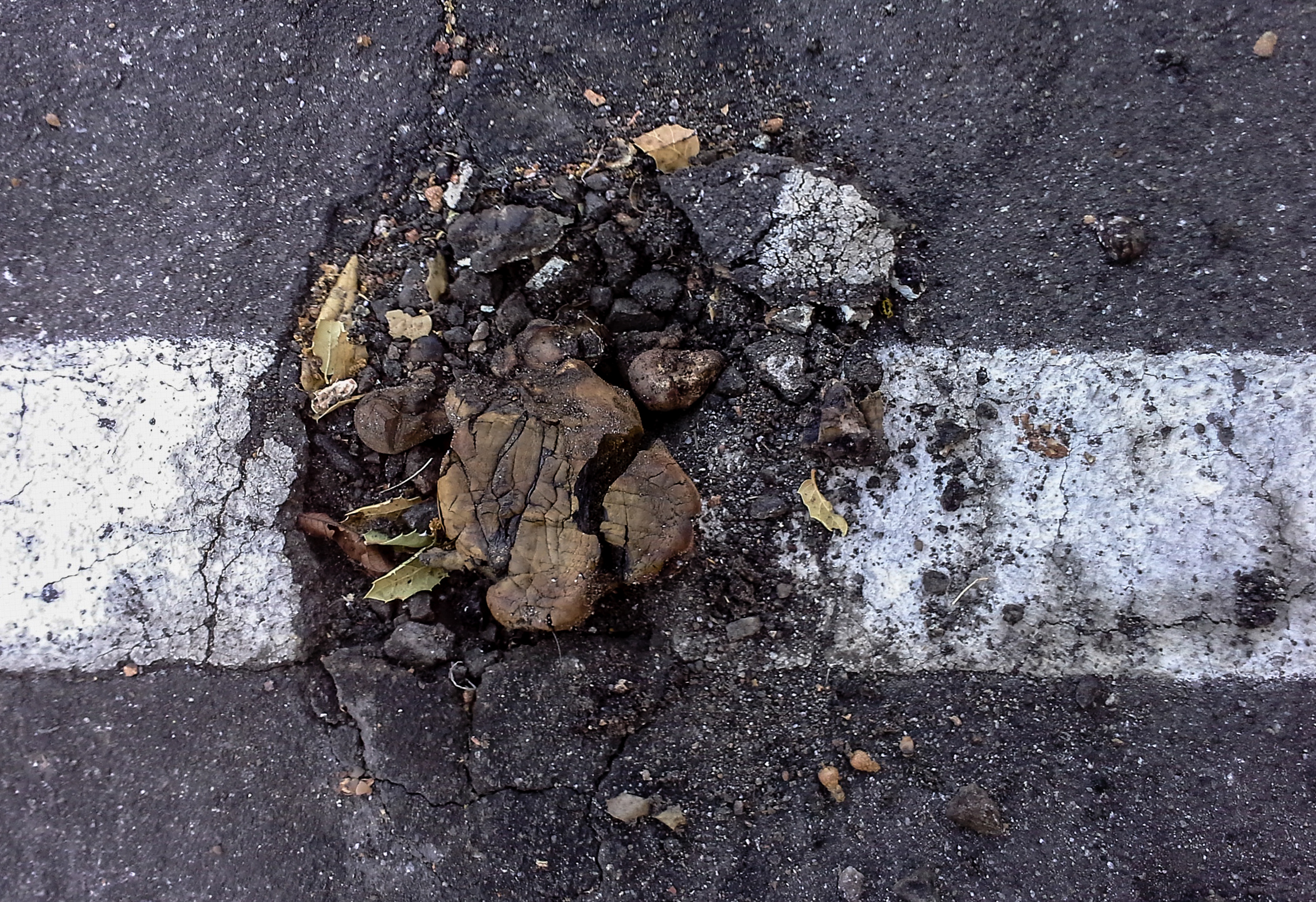 Pisolithus arhizus  growing out of black top. Recently ran over by a car.Photo by  Sava Krstic .