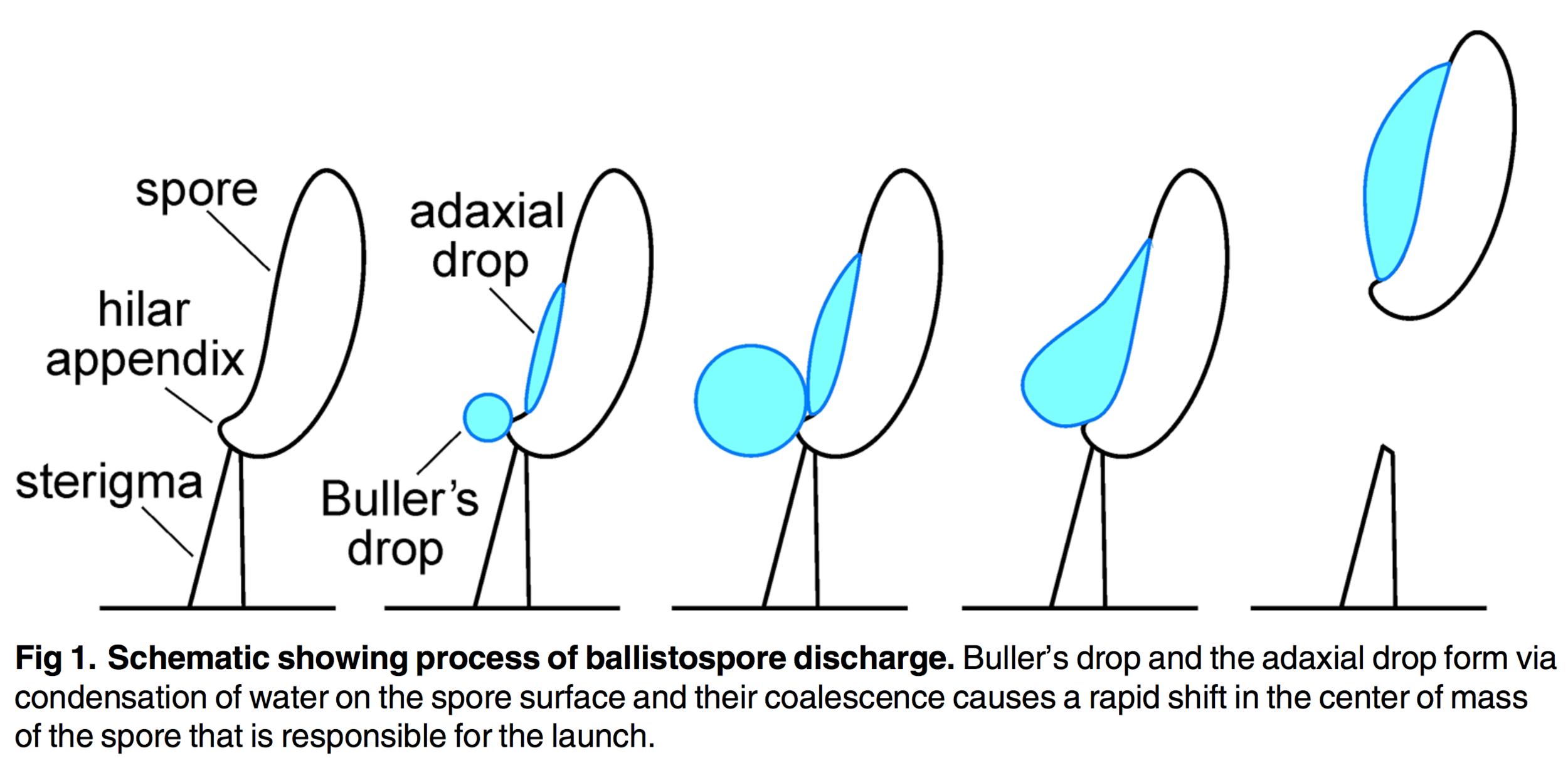 Mechanism of spore release .