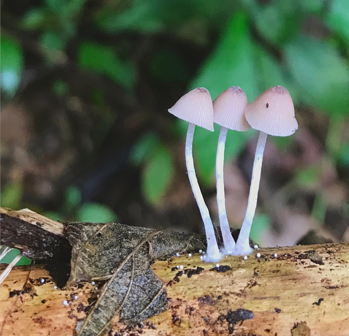 Mycena  sp. found in a Costa Rican cloud forest.