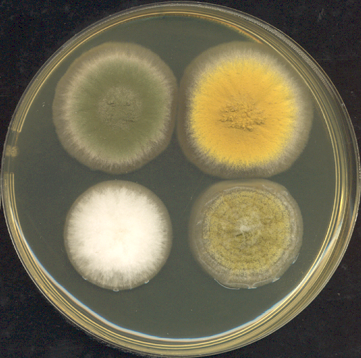 Four different strains of   Aspergillus    sp .