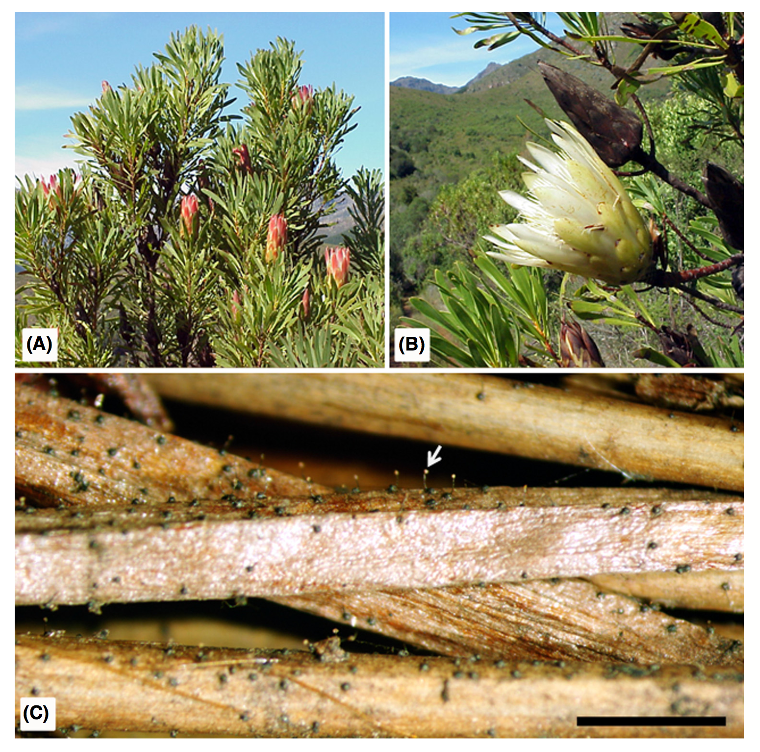 A:  Protea repens  tree. B: Cream inflorescence and infructescence. C:  Knoxdaviesia proteae  sexual structures with visible spore droplets (arrow). Bar=1cm. From  Aylward et al. 2014 .