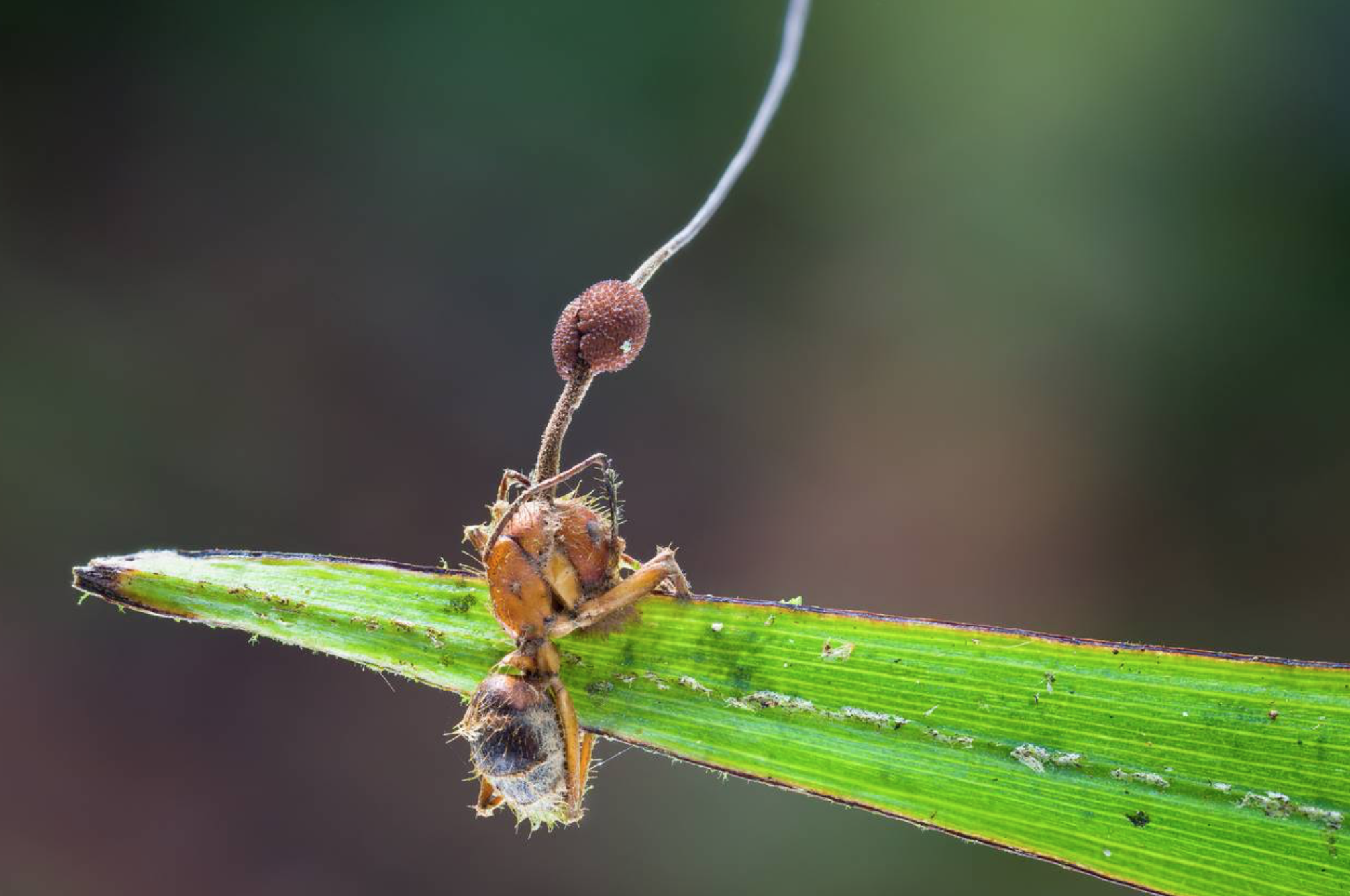 Ophiocordyceps unilateralis,  Photo by   Danny Newman .