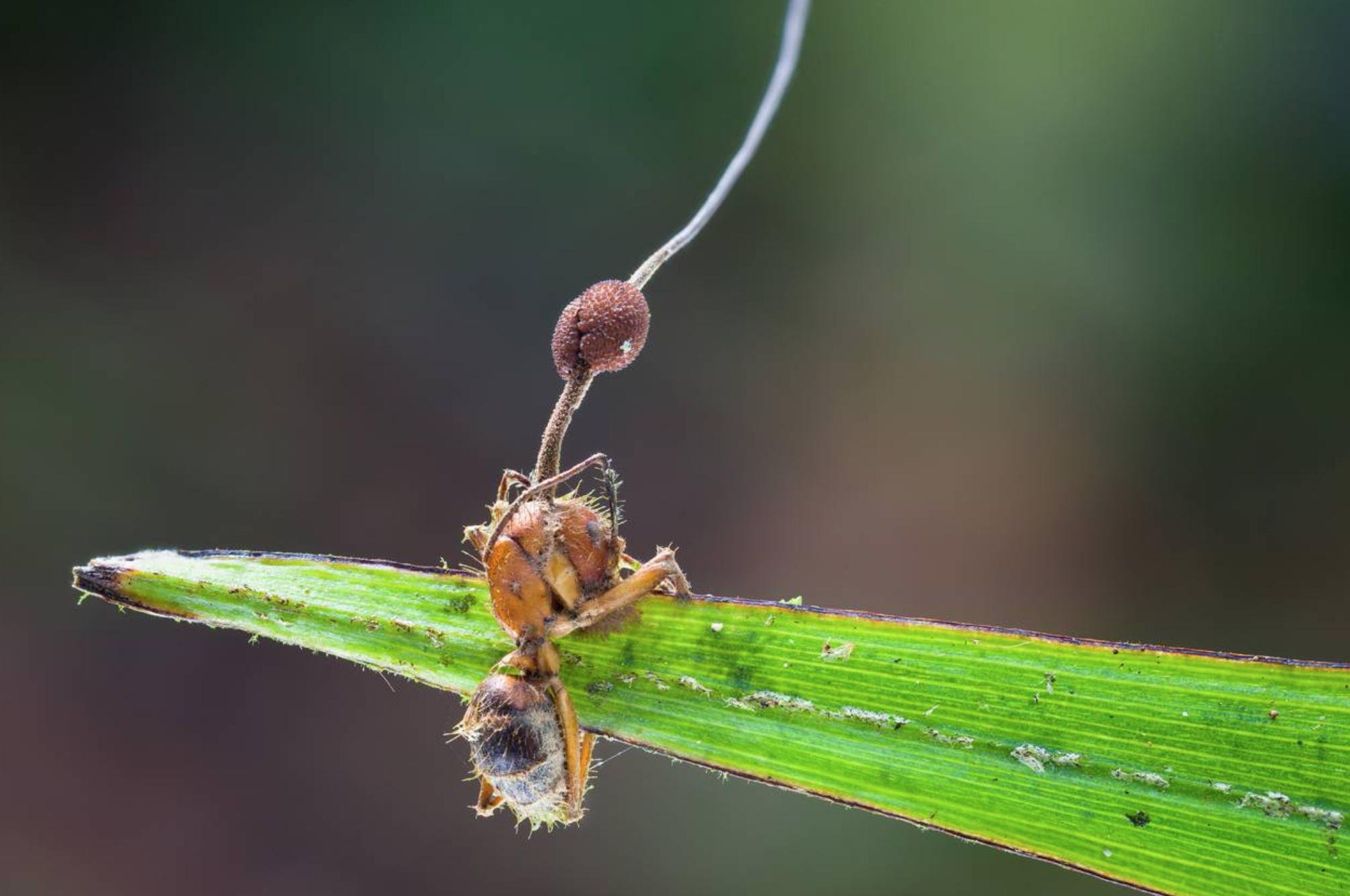 Ophiocordyceps unilateralis, Photo by   Danny Newman .