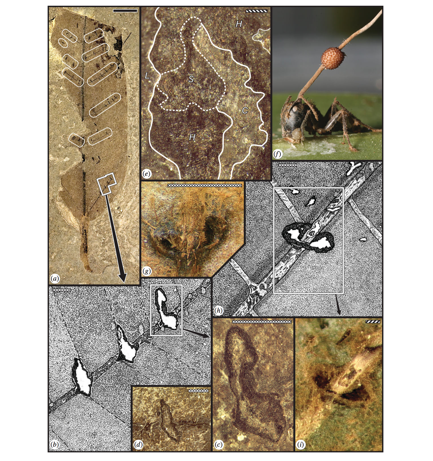 Fossils showing 'zombie ant' death grip. Top right shows  Ophiocordyceps unilateralis  fruiting through the head of the tropical carpenter ant  C. leonardi.  From Hughes et al. 2011.