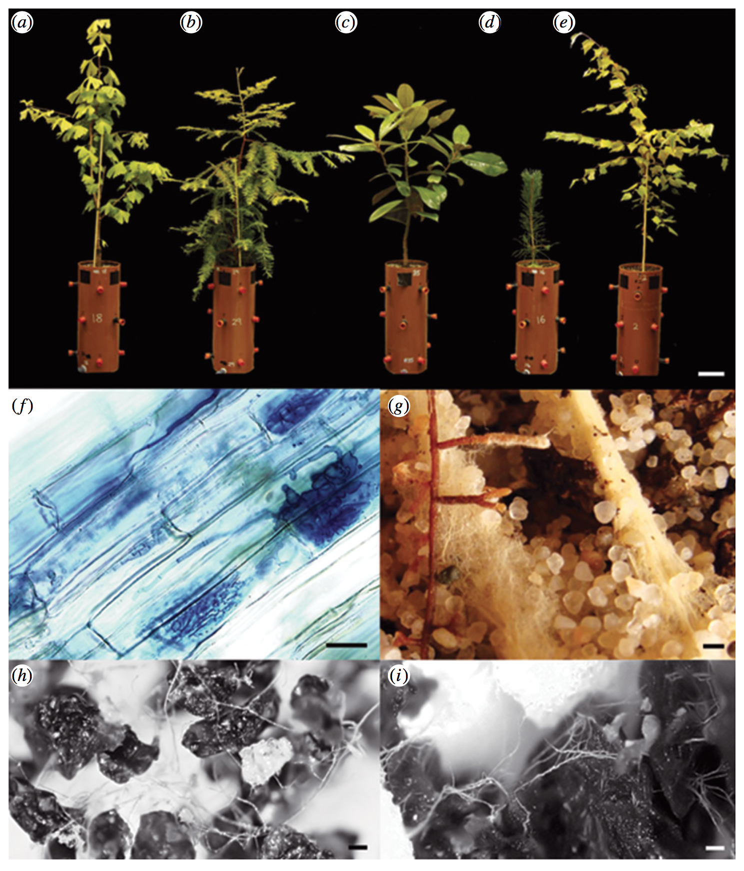 Three AMF hosts,  Ginkgo biloba ,  Sequoia sempervirens  and  Magnolia grandiflora  followed by two ECM hosts,  Pinus sylvestris  and  Betula pendula . (f) AMF structures. (g) ECM rootlets.  Quirk et al. 2014 .