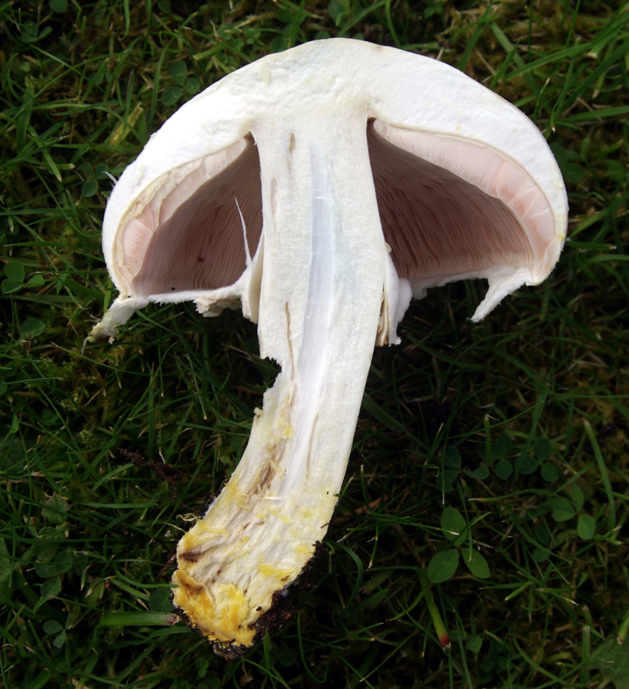 The toxic look alike,  Agaricus xanthodermus ; the yellow-stainer.