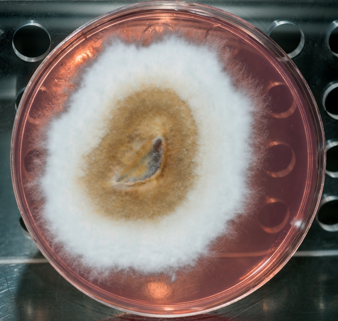 Phellinus igniarius (a thick-walled spore producer)growing Petri dish with nutrient agar. By  Alan Rockefeller .