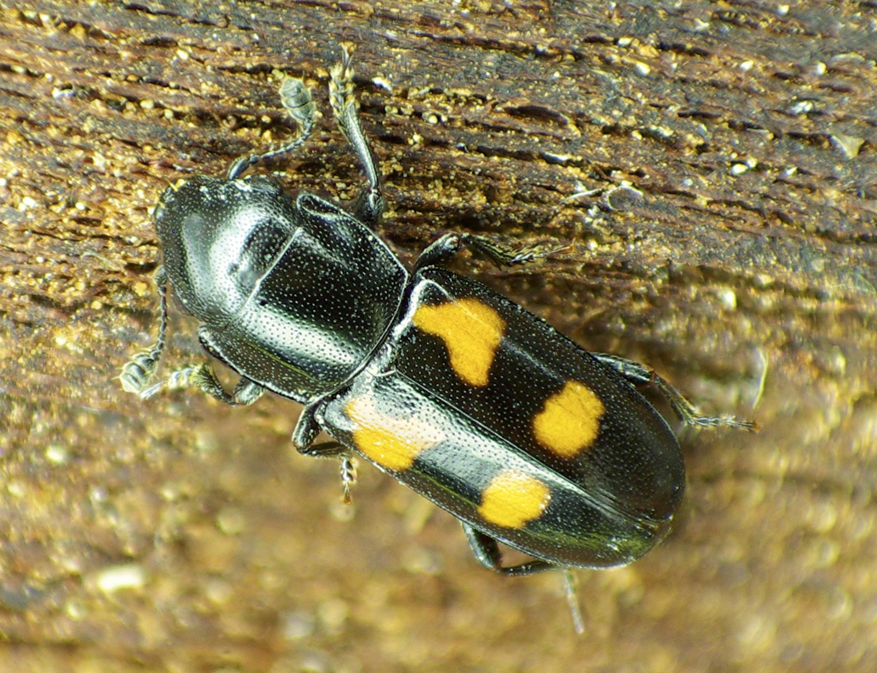 Glischrochilus quadripunctatus  , a fungivorous sap beetle that enhances saprotrophic fungi.