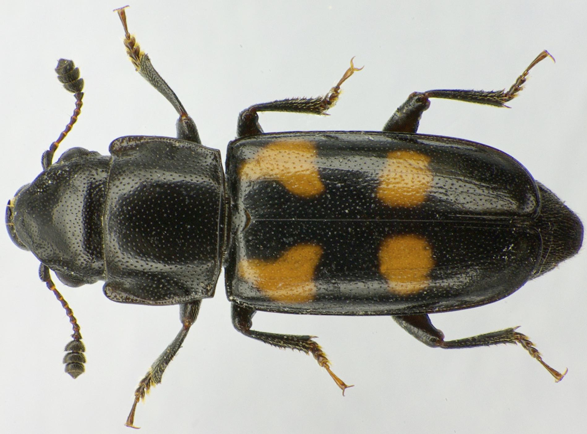 Top view of  Glischrochilus quadripunctatus