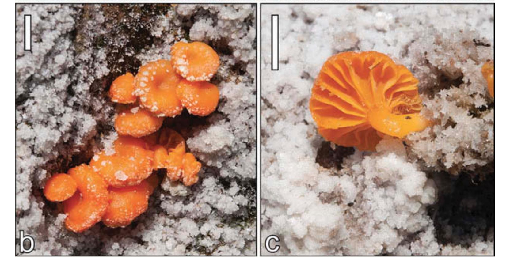 Lichenomphalia altoandina ; a new species of desiccation and salt tolerant basidiolichen.  Sandoval-Leiva et al. 2017 .