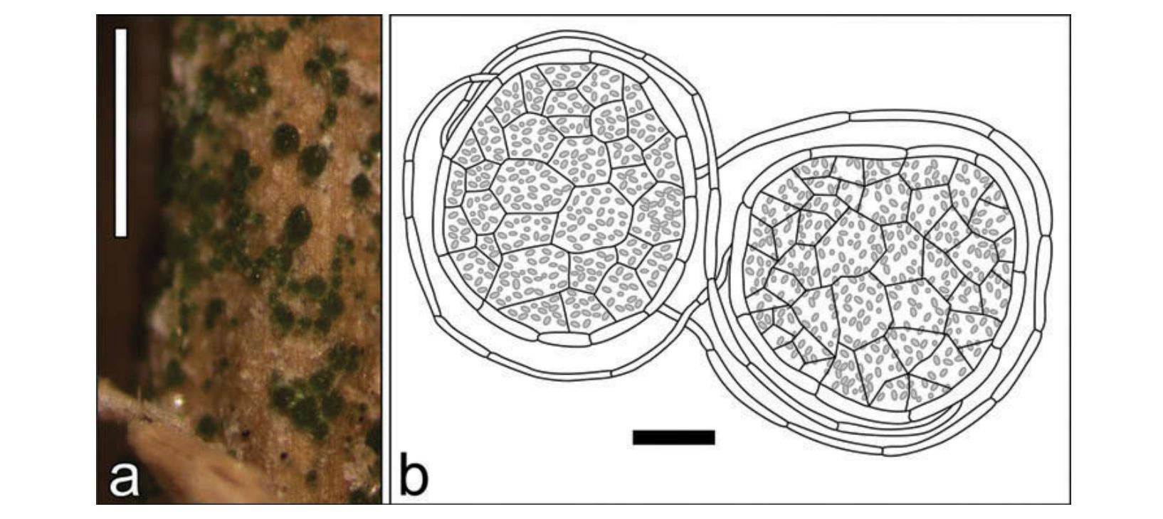 Lichenized thallus; fungal hyphae surrounding photosynthetic algae from the genus  Coccomyxa .  Sandoval-Leiva et al. 2017 .