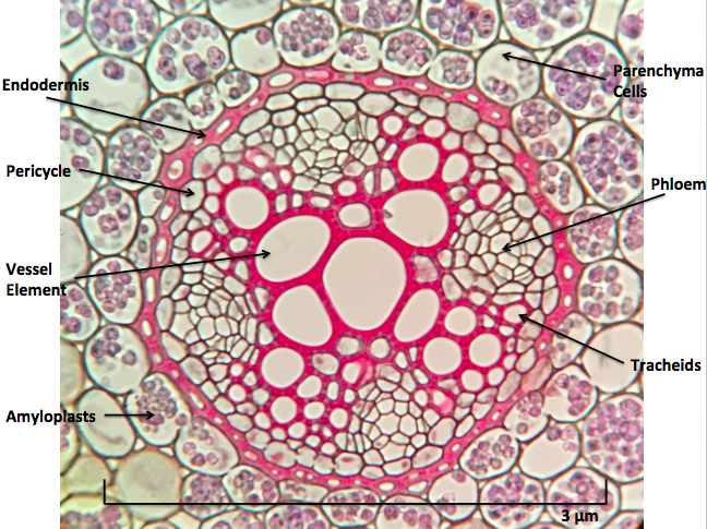 Cross section of a root ; the link between below-ground and above-ground interactions.