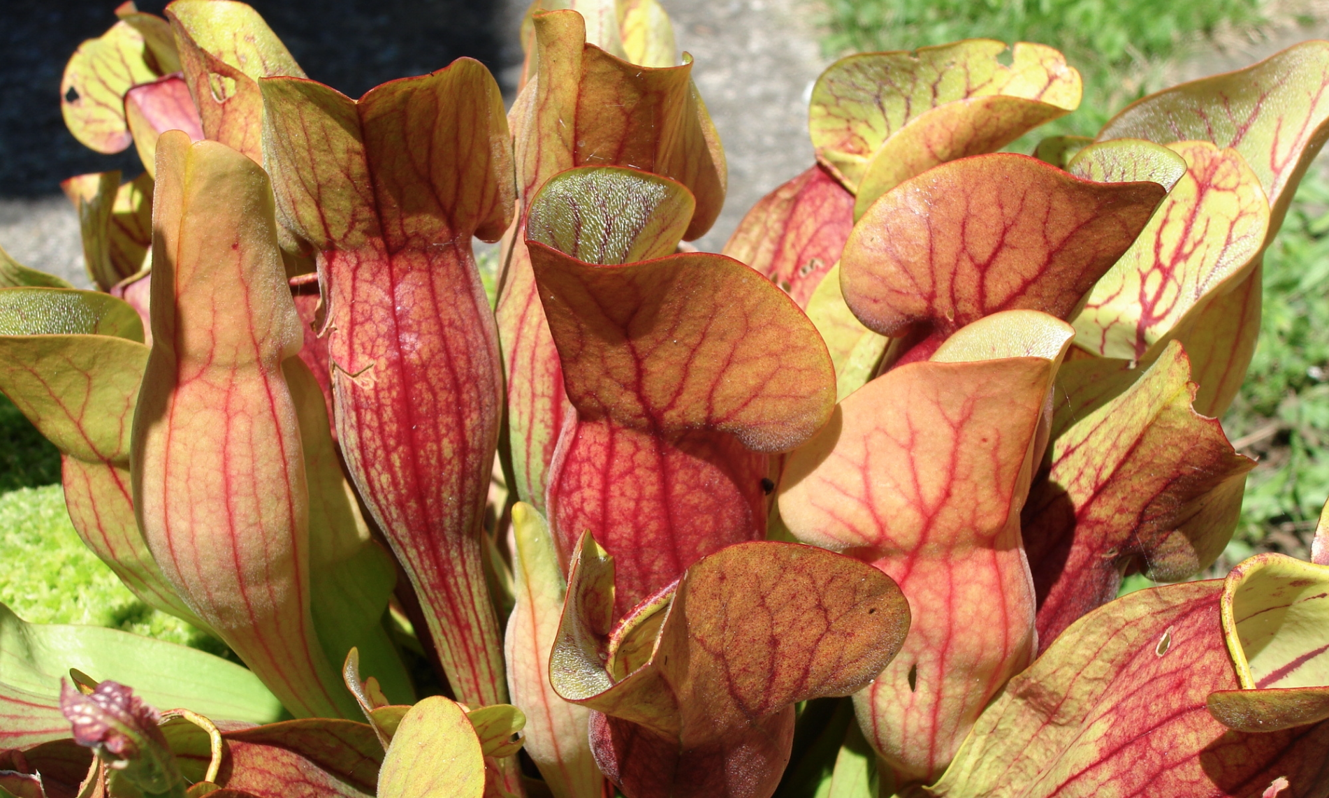 Sarracenia purpurea , a pitcher plant inhabiting a bog in France.