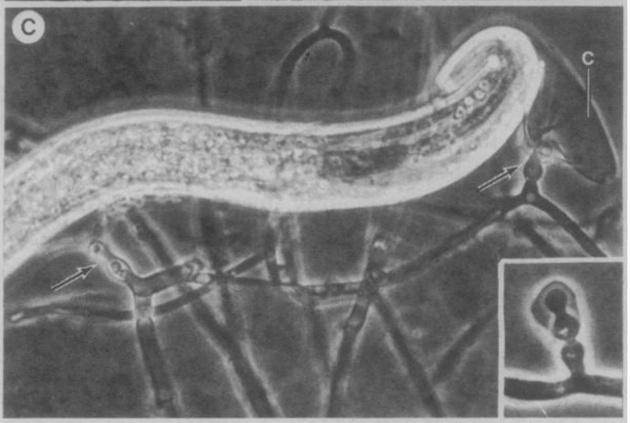 H. mastrucata  and its  s ticky conidia (arrows and inset image) adhering to nematode.  Thorn and Barron 1984 .