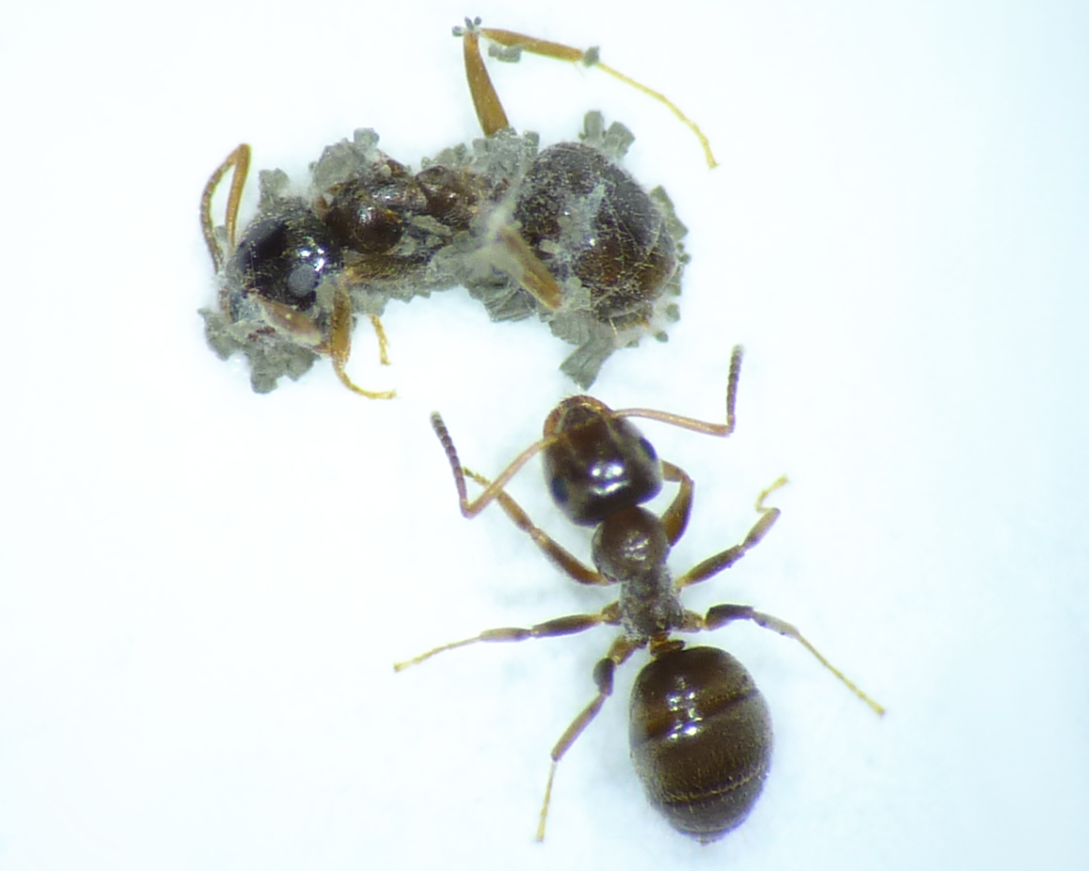 "Top ant cadaver covered in pathogen              96                Normal     0                     false     false     false         EN-US     X-NONE     X-NONE                                                                                                                                                                                                                                                                                                                                                                                                                                                                                                                                                                                                                                                                                                                                                                                                                                                                                                                                                                                                                                                                                                                                                                                                                                                                                                                                                                                                                                                                                                                                                                                                                                                                                                                                 /* Style Definitions */ table.MsoNormalTable 	{mso-style-name:""Table Normal""; 	mso-tstyle-rowband-size:0; 	mso-tstyle-colband-size:0; 	mso-style-noshow:yes; 	mso-style-priority:99; 	mso-style-parent:""""; 	mso-padding-alt:0in 5.4pt 0in 5.4pt; 	mso-para-margin:0in; 	mso-para-margin-bottom:.0001pt; 	mso-pagination:widow-orphan; 	font-size:12.0pt; 	font-family:""Calibri"",sans-serif; 	mso-ascii-font-family:Calibri; 	mso-ascii-theme-font:minor-latin; 	mso-hansi-font-family:Calibri; 	mso-hansi-theme-font:minor-latin;}      Metarhizium brunneum."