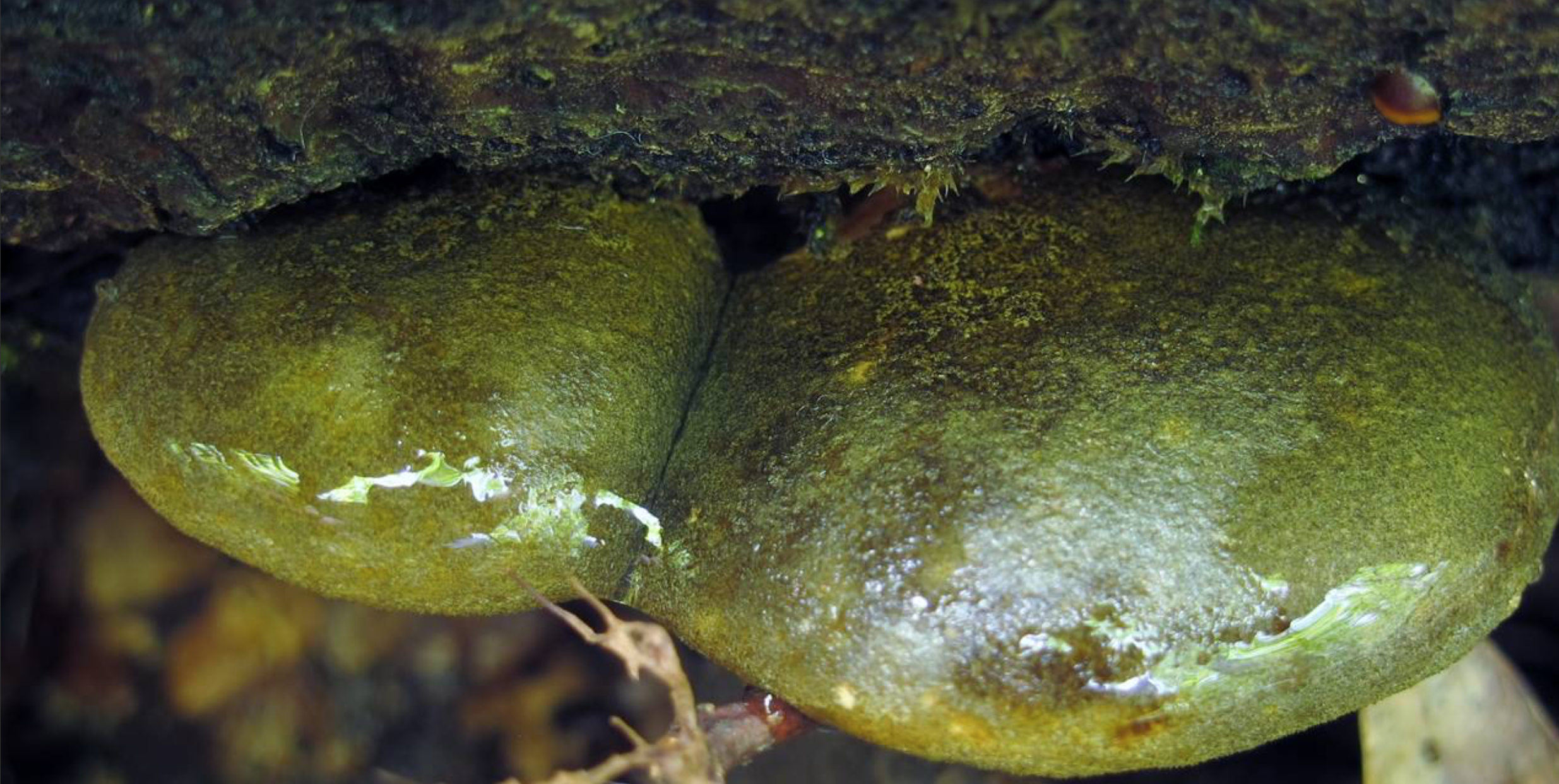 This species mucous layer is better observed when wet. Photo by Walt Sturgeon.