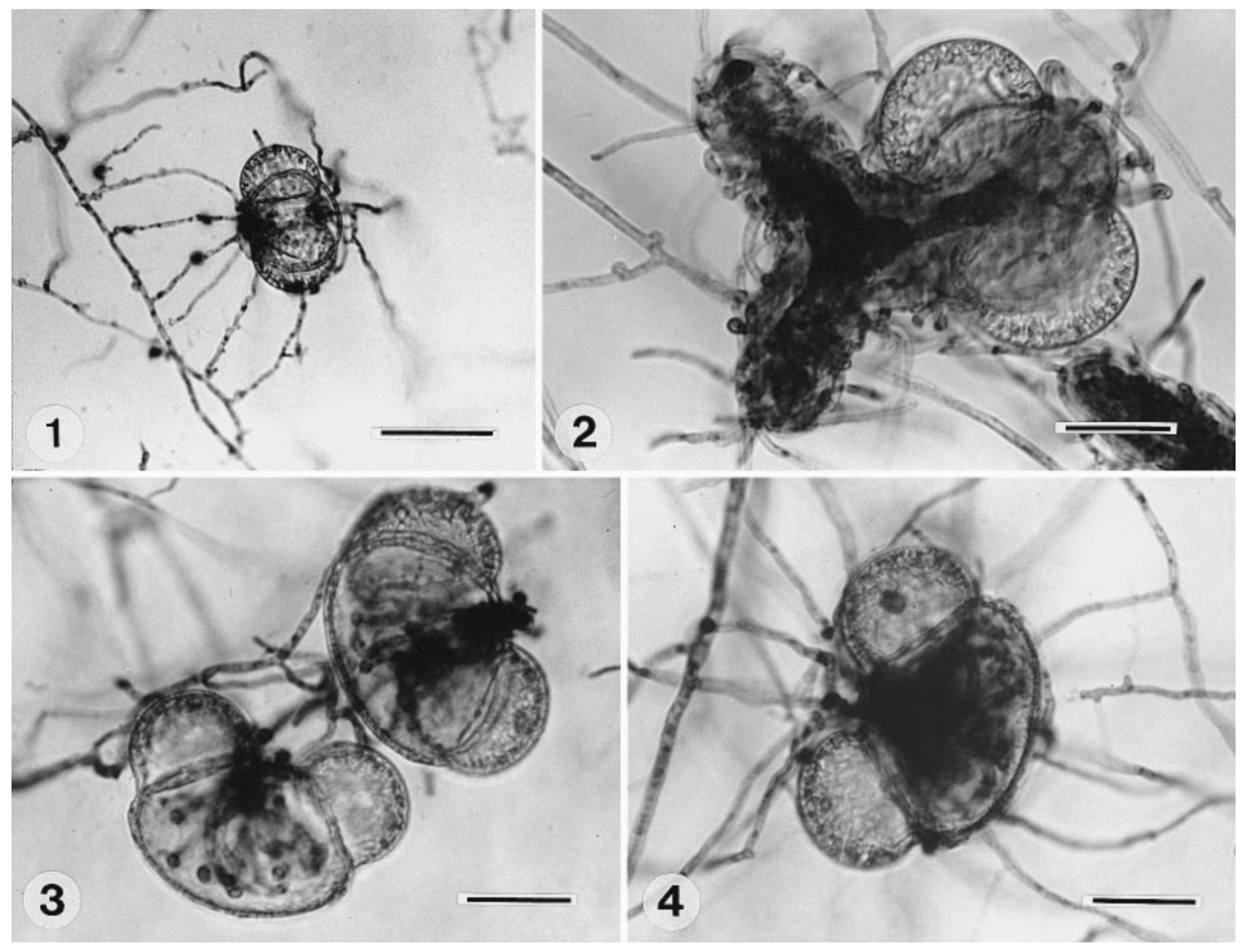 Different fungi penetrating pollen from  Pinus nigra . 1.)  Bjerkandera adusta  2.)  Cantharellula umbonata  3.)  Coprinus comatus  4.)  Cyathus stercoreus . In  Hutchison and Barron  1997.