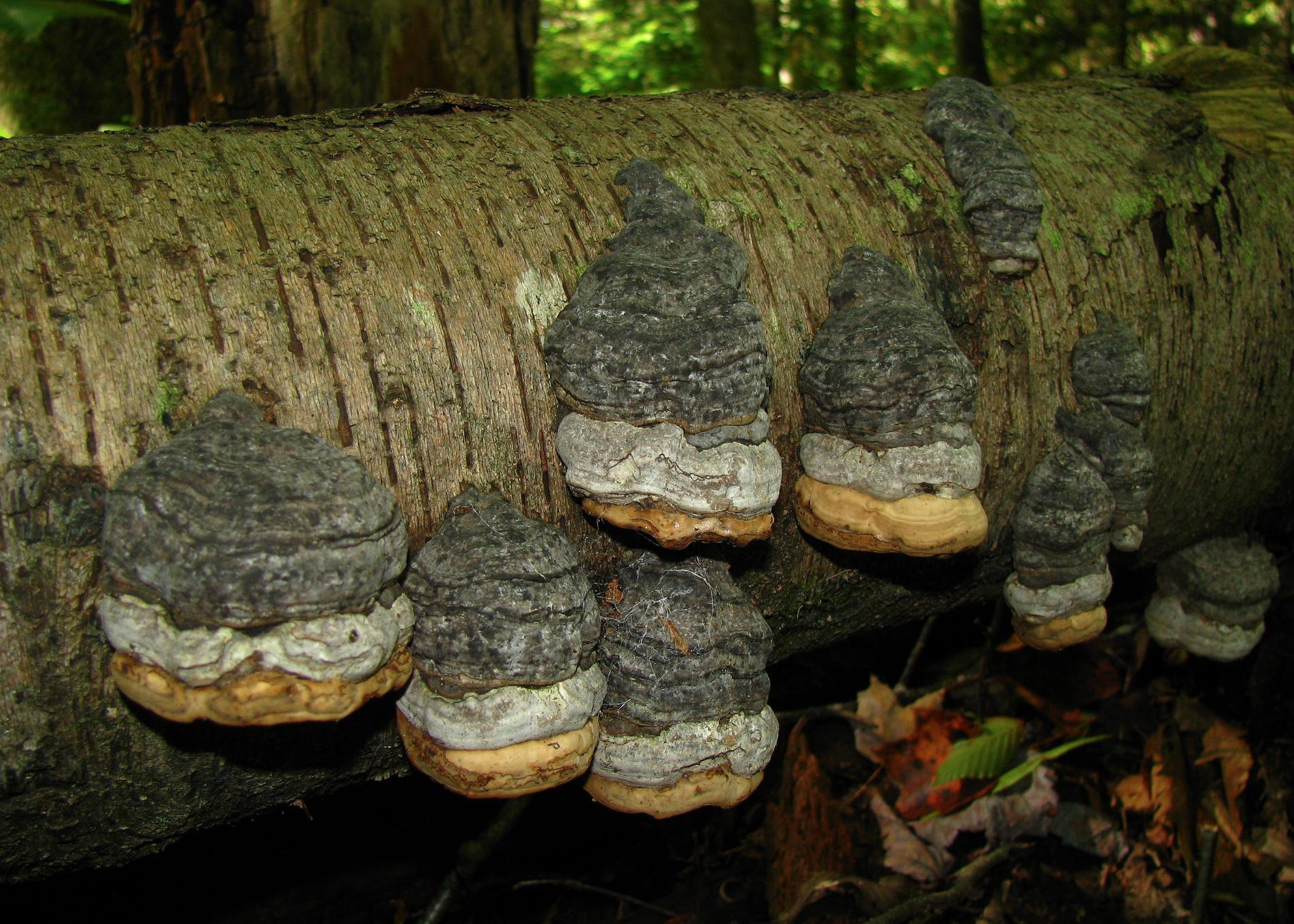 Fomes fomentarius  ; a voracious decomposer that has been shown to utilize coniferous pollen.