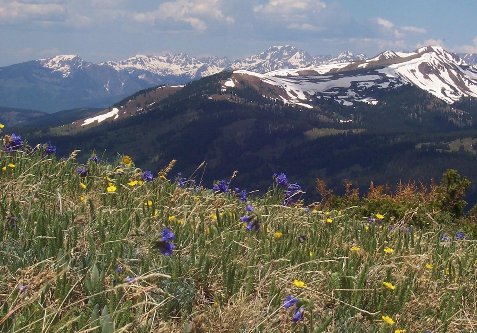 AMF alpine meadow plants growing above ECM trees .