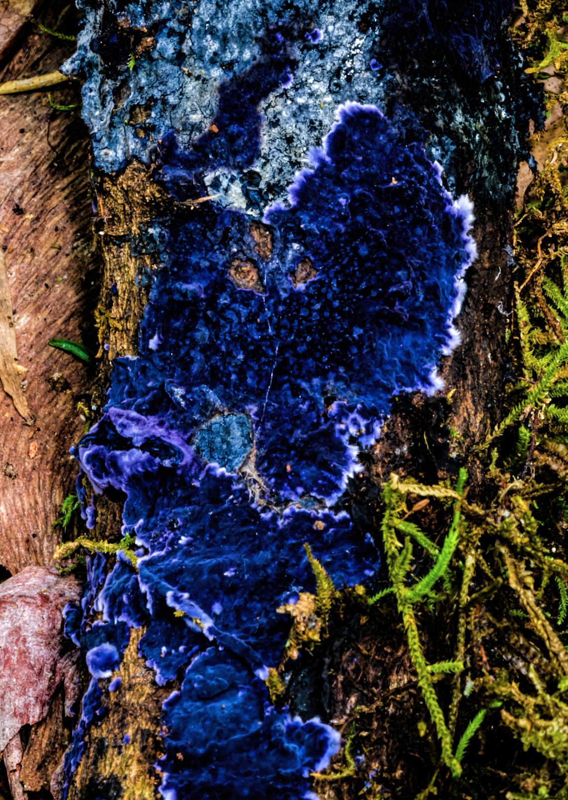 The saprophytic cobalt crust. By  Ian Dodd .