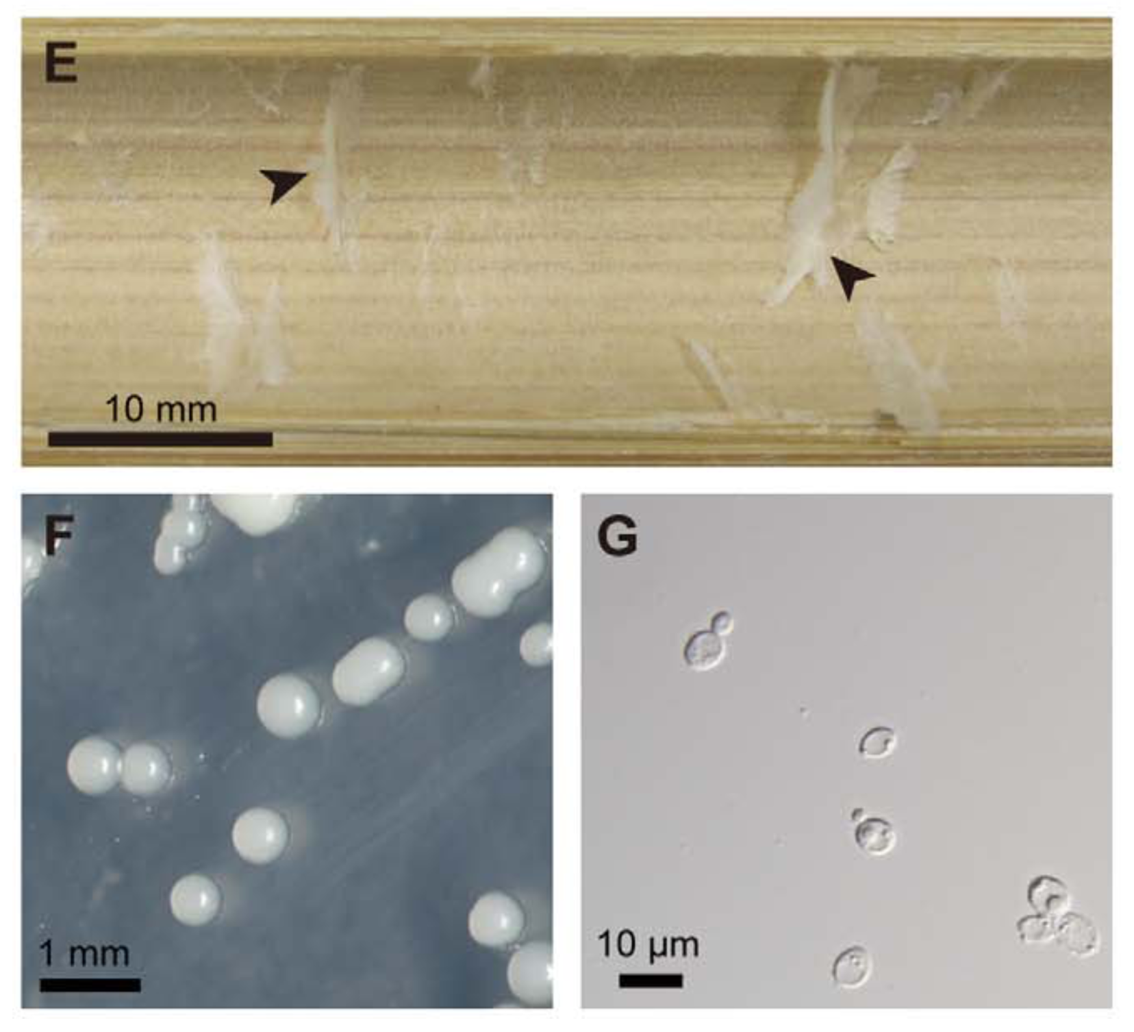 (E) Steril bamboo with pith tissue (arrows). (F) colonies of  Wickerhamomyces anomalus. (G) individual yeast cells, note the one budding asexually. Toki et al. 2012 .