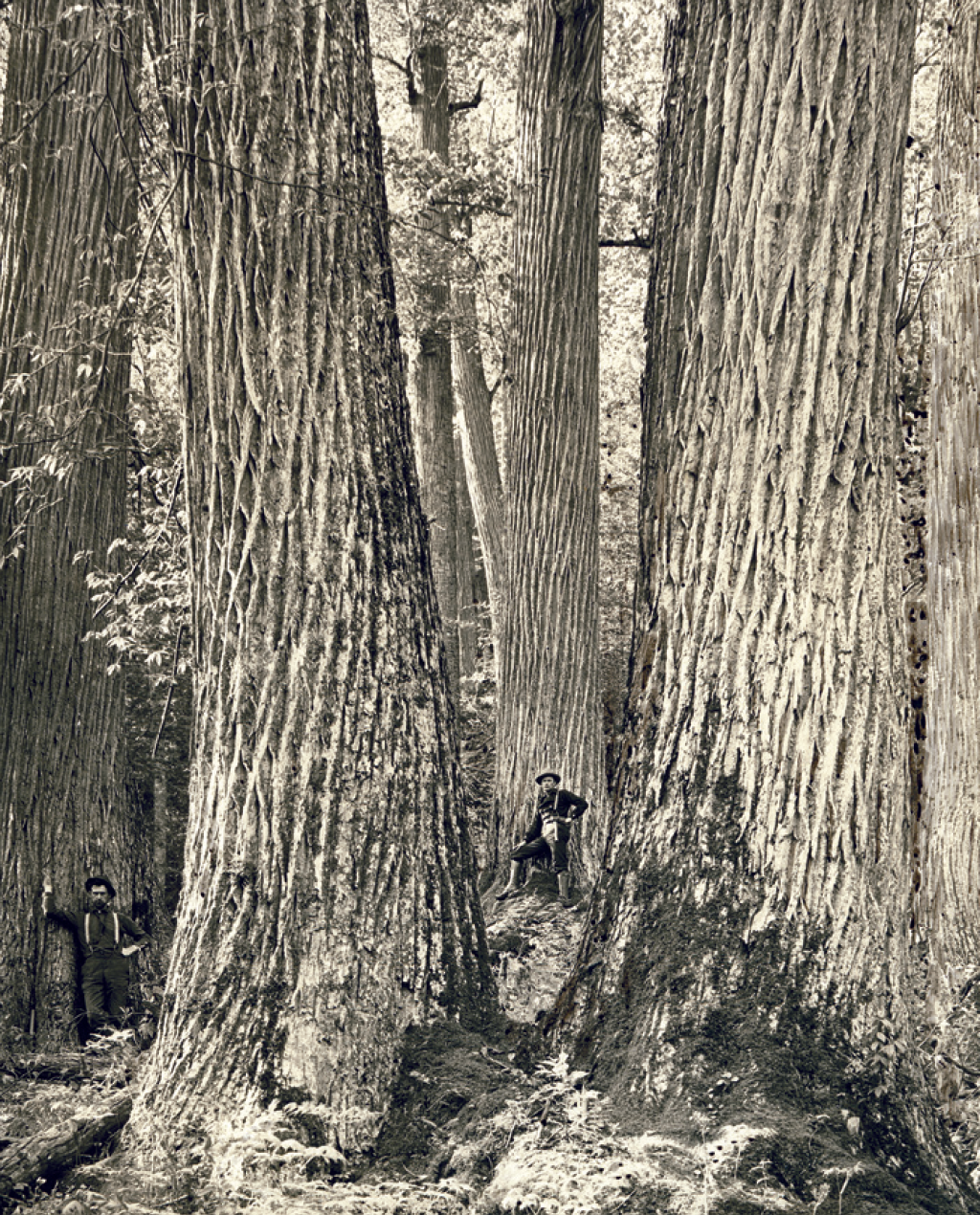 The Eastern giants before the fungal invasion. These trees once dominated our ecosystems. From  Thompson 2012 .