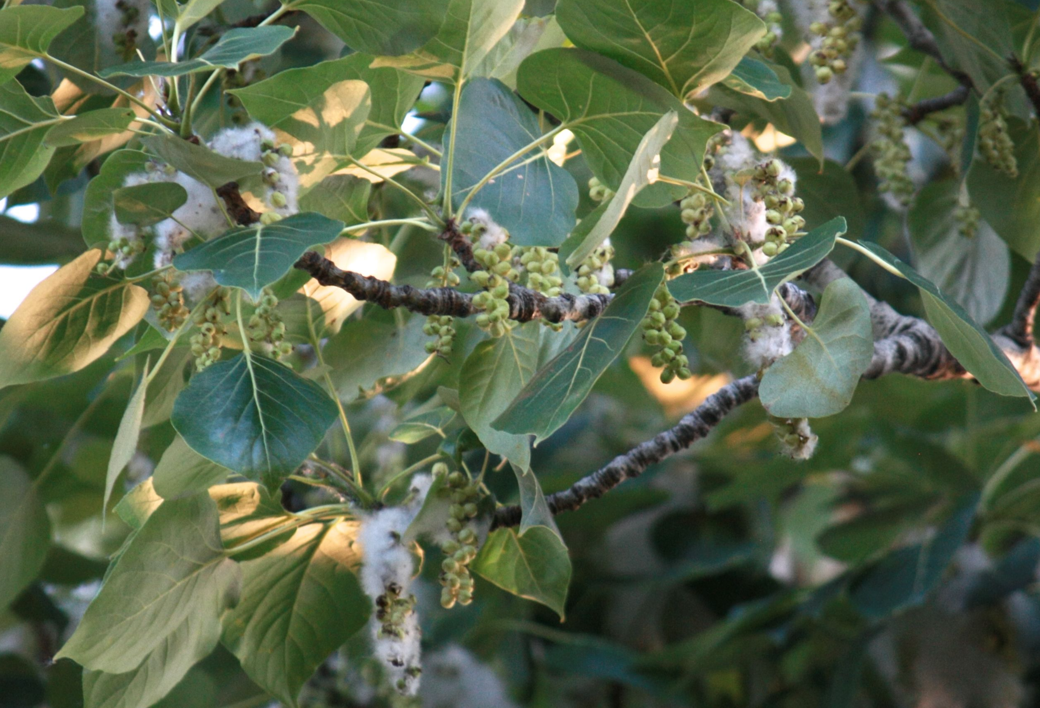The riparian  Populus Trichocarpa . The Black cottonwood. Note the wide dispersing cotton-like seeds.