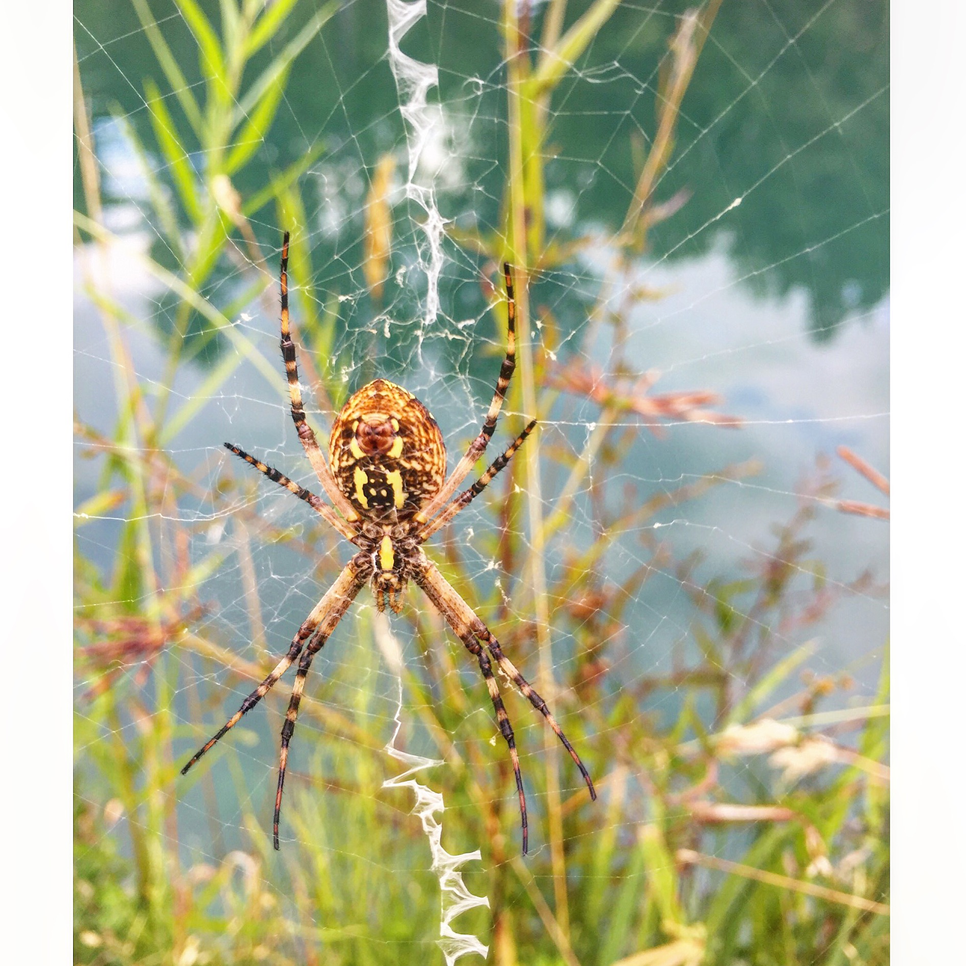 The yellow Argiope ( Argiope aurantia ) awaiting newly merging insects.