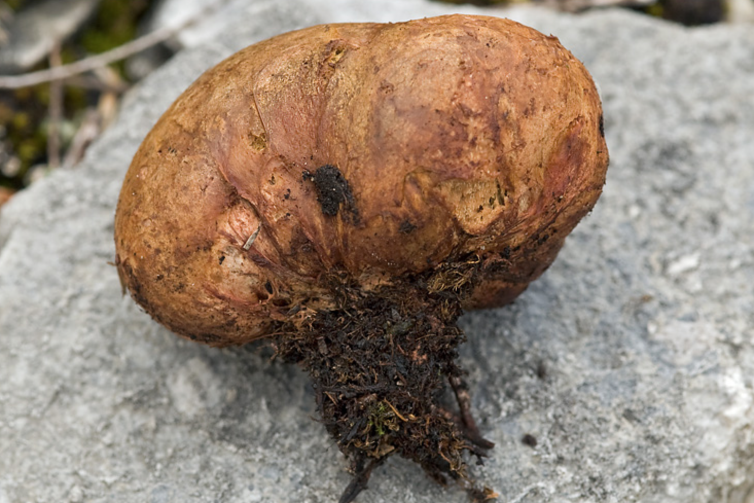 "The subterraneous fruiting body of a ""false truffle,""   Rhizopogon luteolus ."