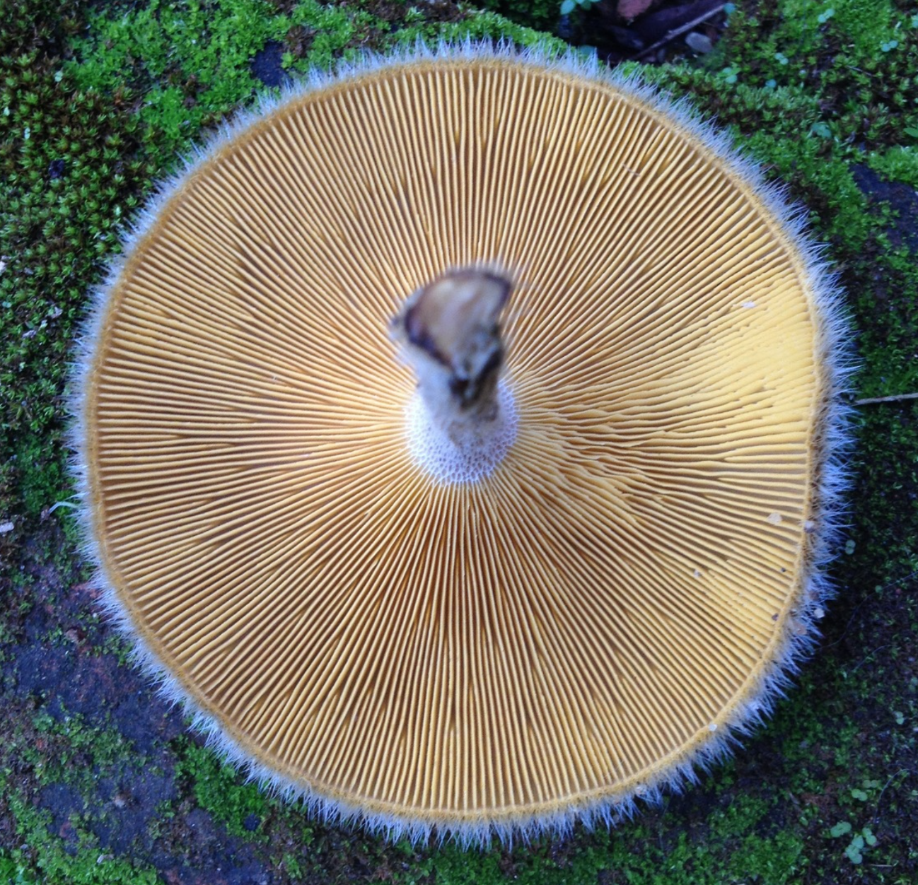 Check out this polypore's gills! Not many times you can get away saying that..