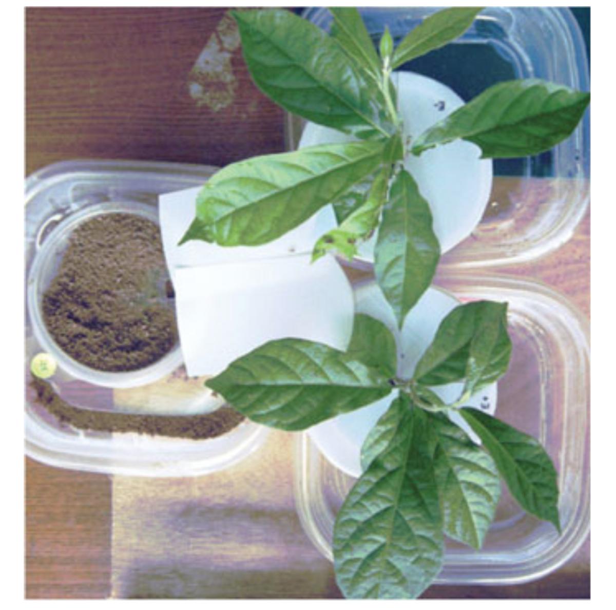 Experimental design using the plant  C  ordia alliodora . Bittleston et al. 2010 .