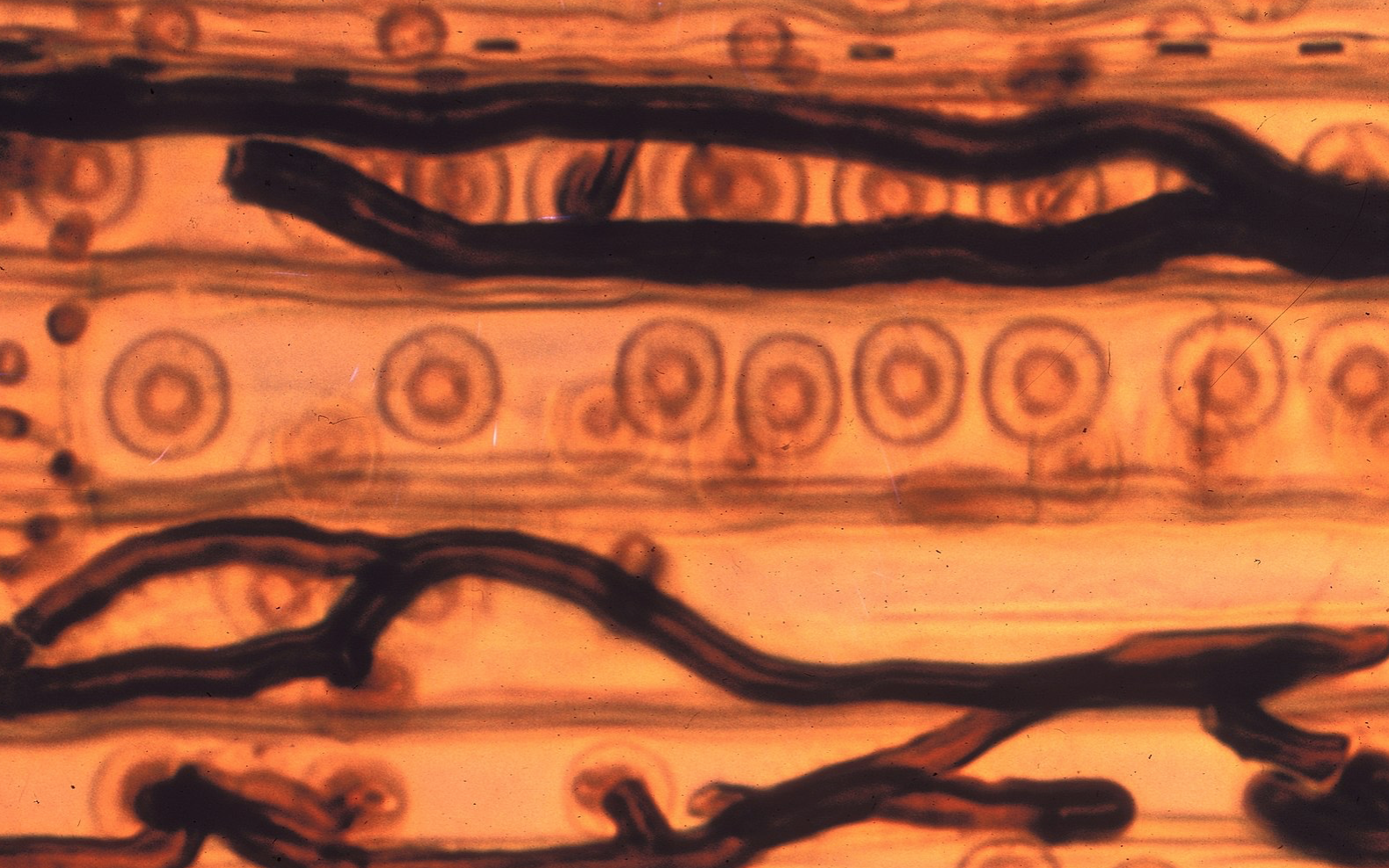 Hyphal strands of  ophiostomatoid fungi , breaking down its woody substrate.