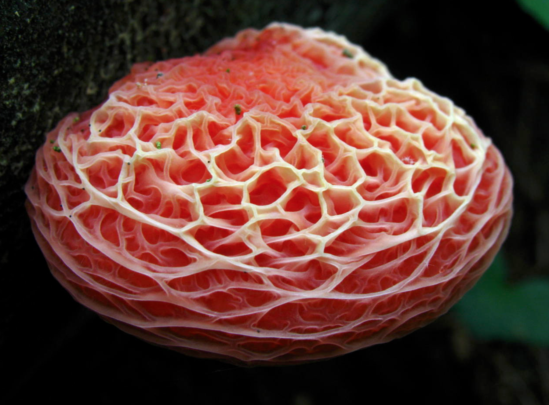 "Rhodotus palmatus , the wrinkled peach. By                         Normal     0                     false     false     false         EN-US     X-NONE     X-NONE                                                                                                                                                                                                                                                                                                                                                                                                                                                                                                                                                                                                                                                                                                                                                                                                                                                                                                                                                                                                                                                                                                                                                                                                                                                                                                                                                                                                                                                                                                                                                                                                                                                                                                     /* Style Definitions */  table.MsoNormalTable 	{mso-style-name:""Table Normal""; 	mso-tstyle-rowband-size:0; 	mso-tstyle-colband-size:0; 	mso-style-noshow:yes; 	mso-style-priority:99; 	mso-style-parent:""""; 	mso-padding-alt:0in 5.4pt 0in 5.4pt; 	mso-para-margin:0in; 	mso-para-margin-bottom:.0001pt; 	mso-pagination:widow-orphan; 	font-size:12.0pt; 	font-family:""Calibri"",sans-serif; 	mso-ascii-font-family:Calibri; 	mso-ascii-theme-font:minor-latin; 	mso-hansi-font-family:Calibri; 	mso-hansi-theme-font:minor-latin; 	mso-bidi-font-family:""Times New Roman""; 	mso-bidi-theme-font:minor-bidi;}      Dan Molter ."